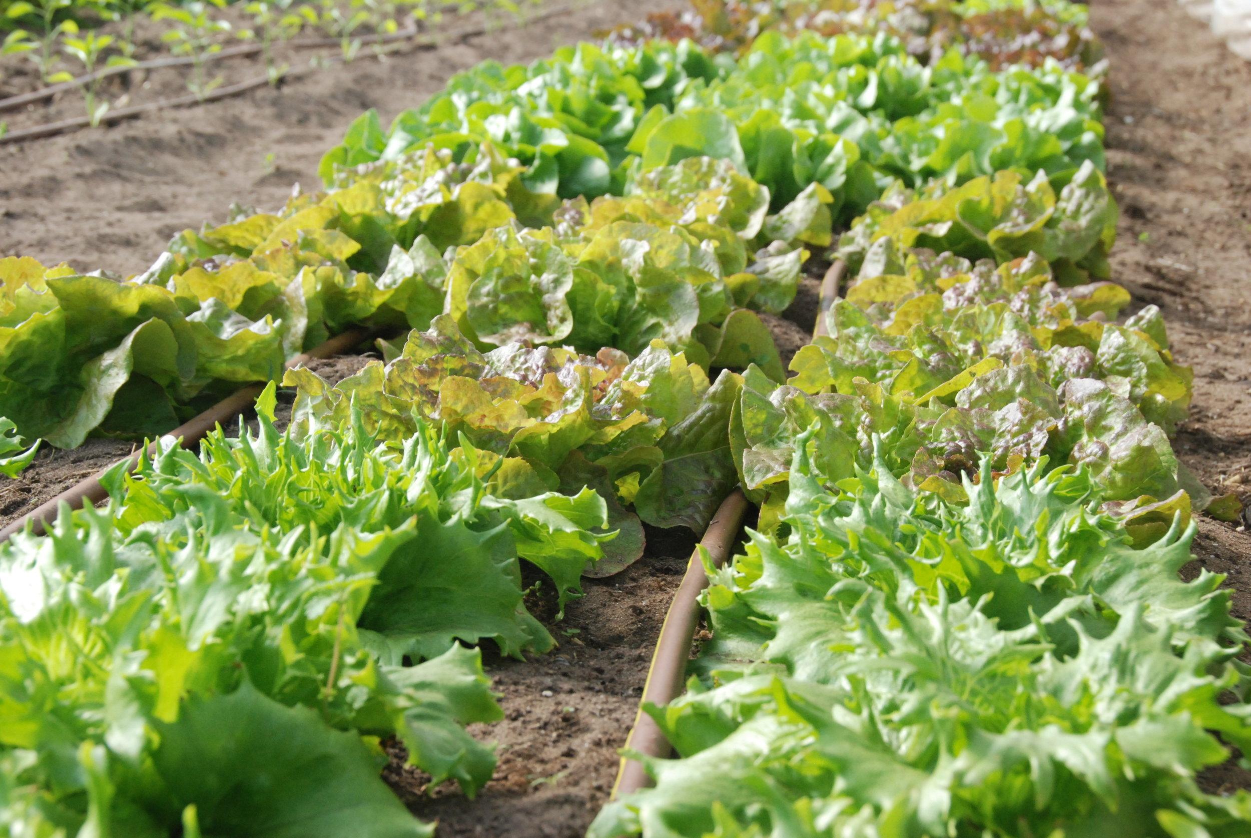 Lettuce trials - october 2018