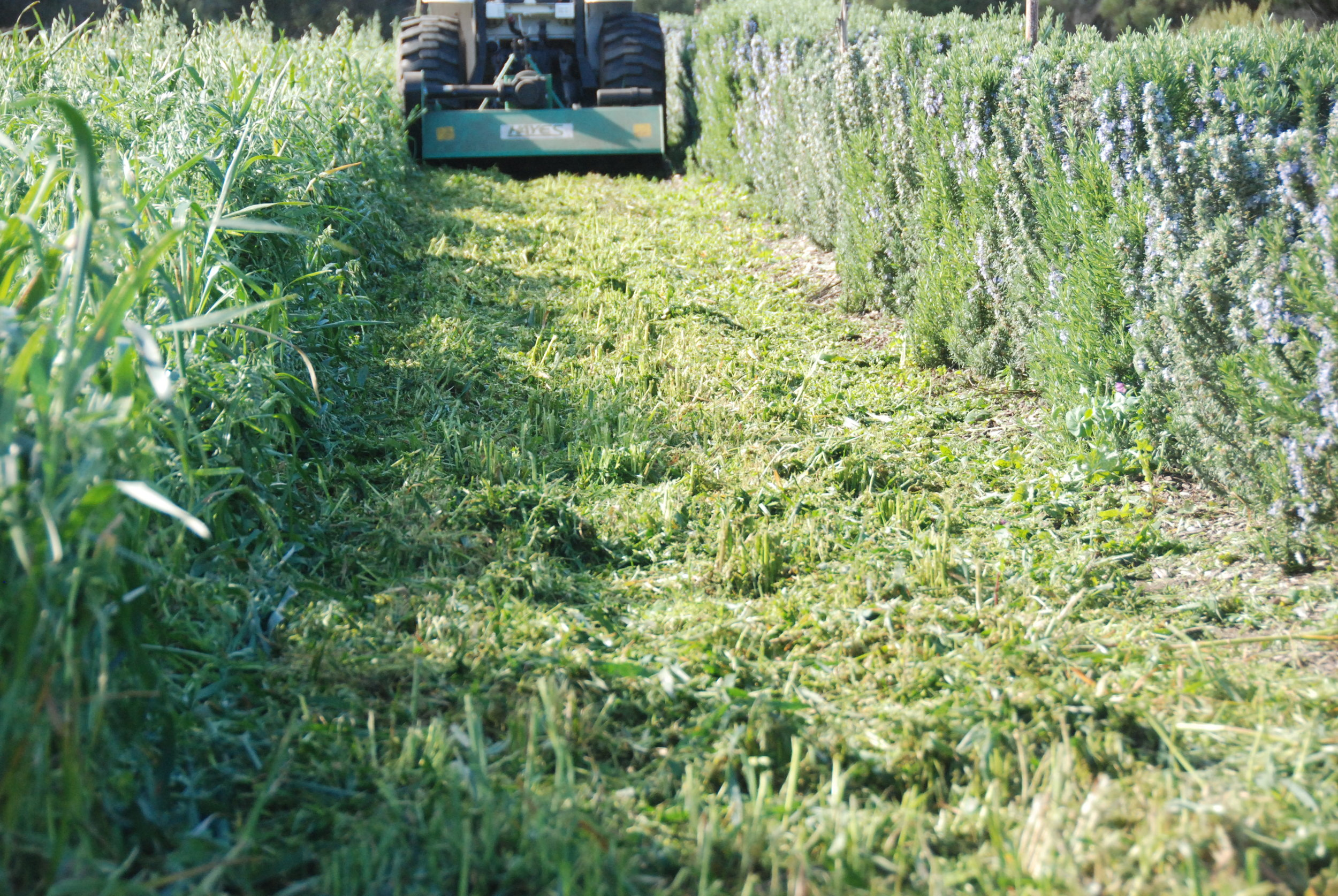incorporating green manures in preparation for the planting of field tomatoes Sept 2018