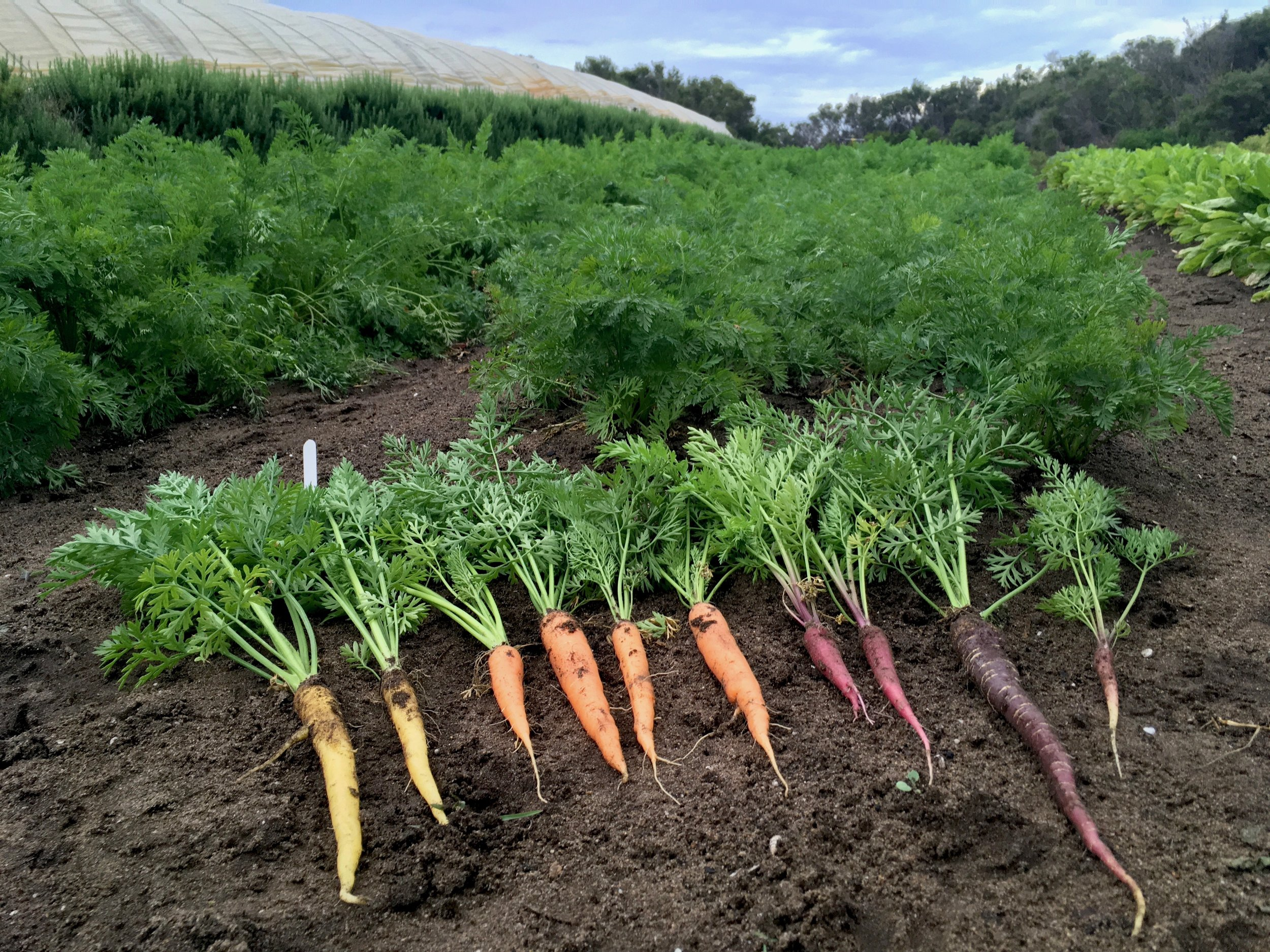 Carrot variety trials - Dec 2018