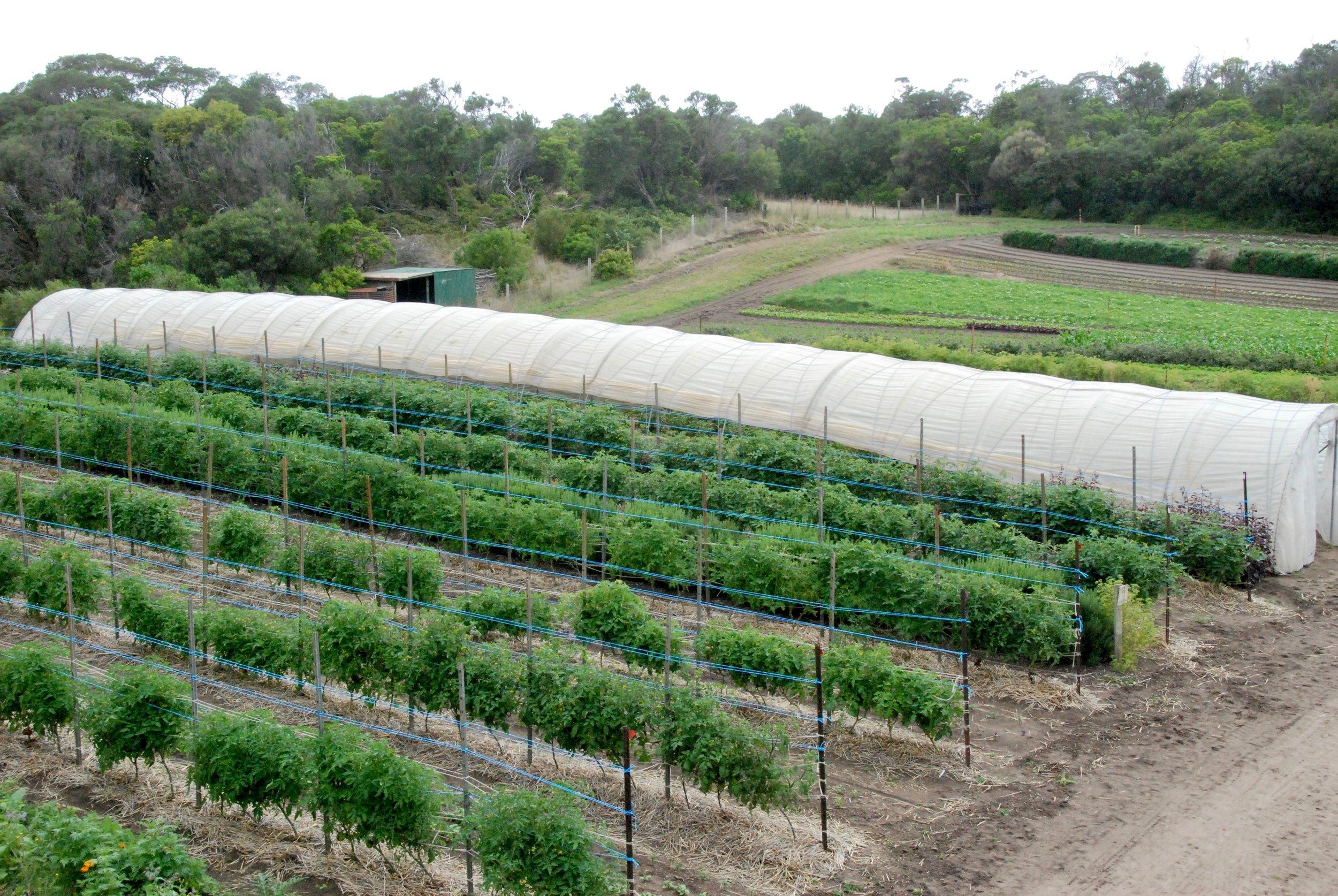 Field Tomato crop mid Dec 2018