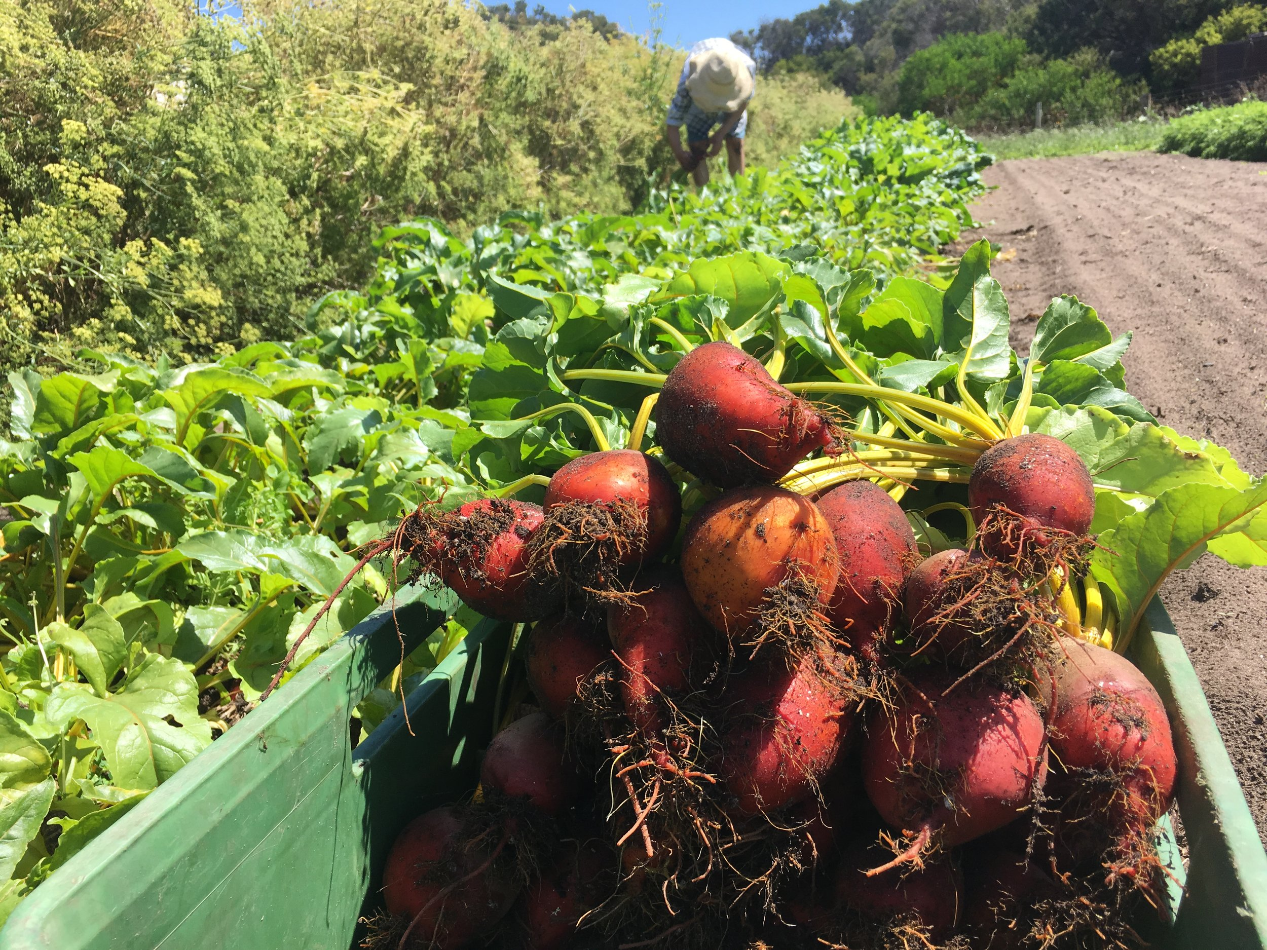 New varieties of beetroot are grown and sent to restaurants.