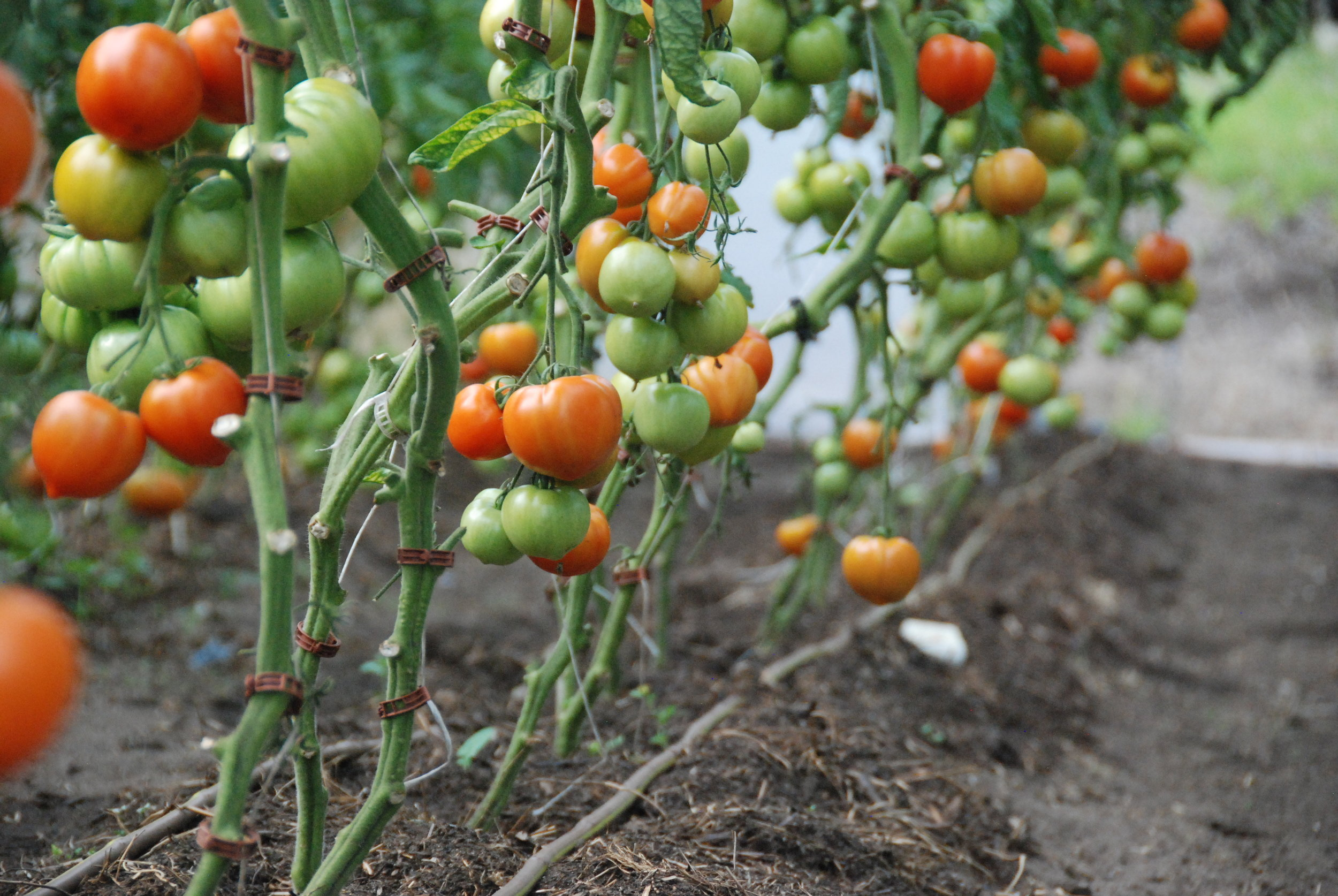 In the long days of summer, tomatoes ripen…
