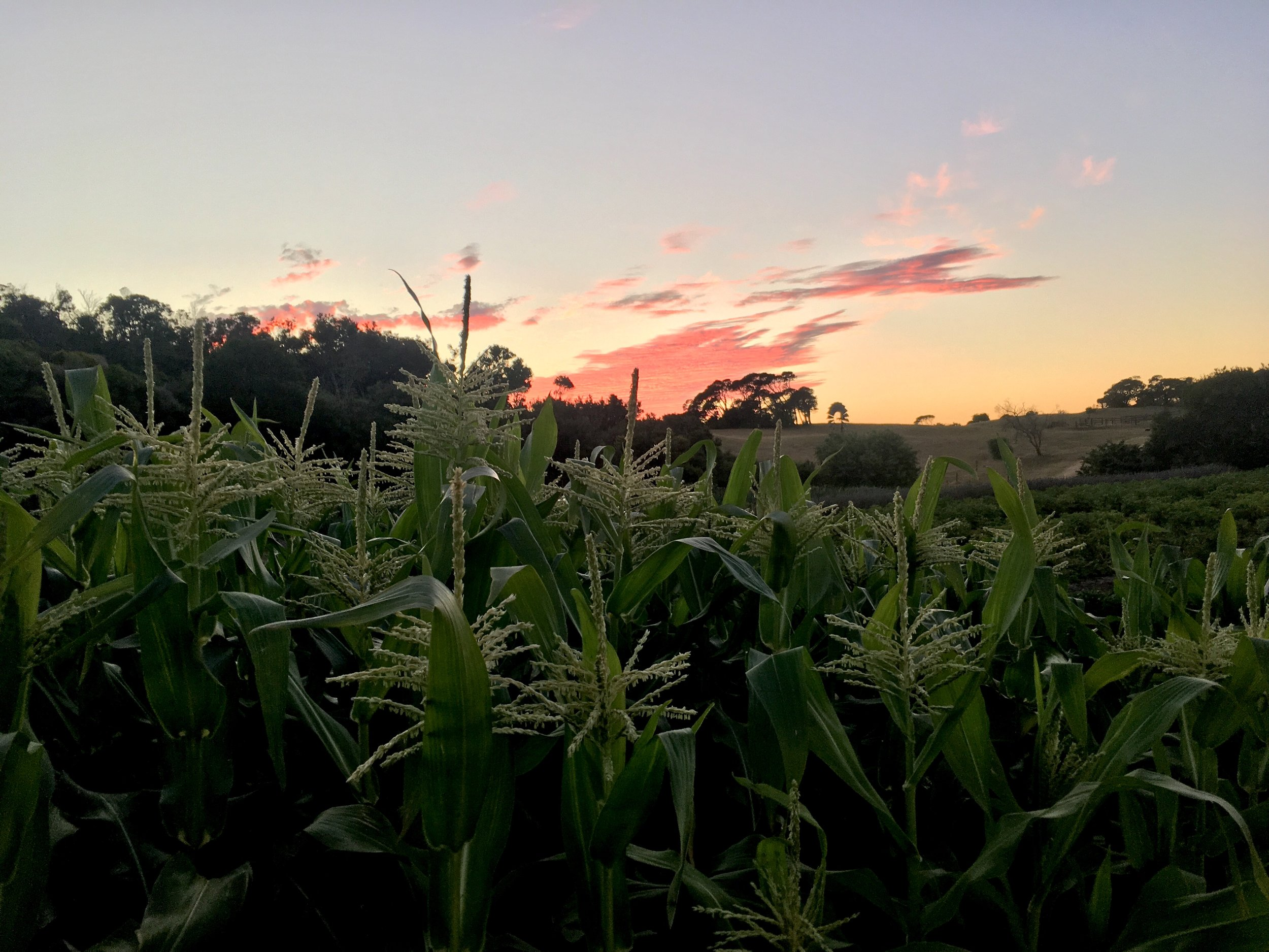 Corn tassels.