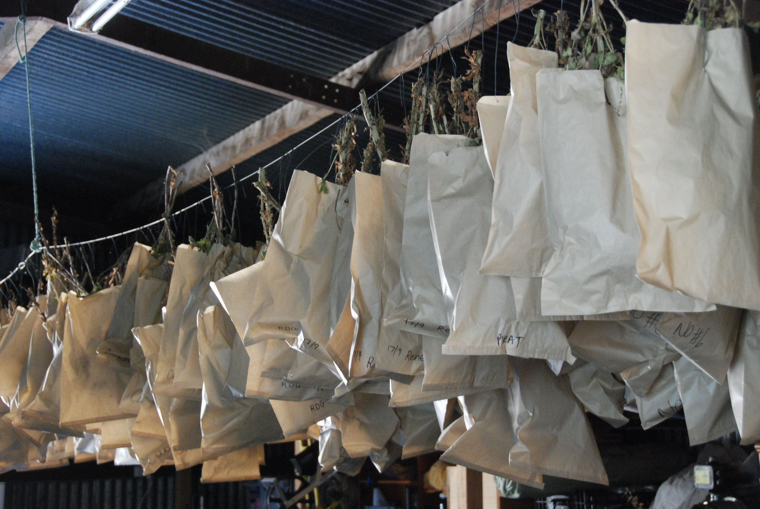 Lettuce Seed Drying in the shed