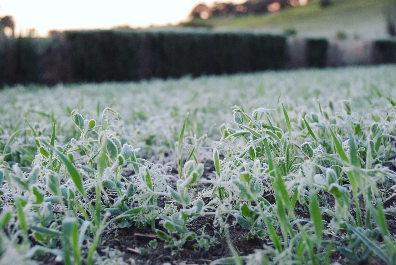 Winter green manure crops
