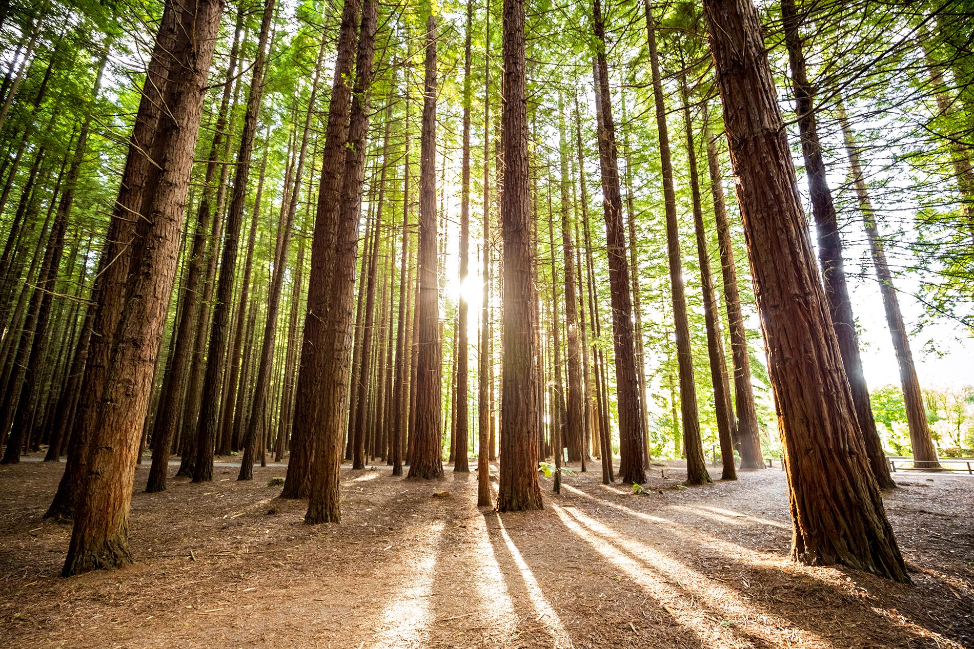 Rotorua_Redwoods_1.png