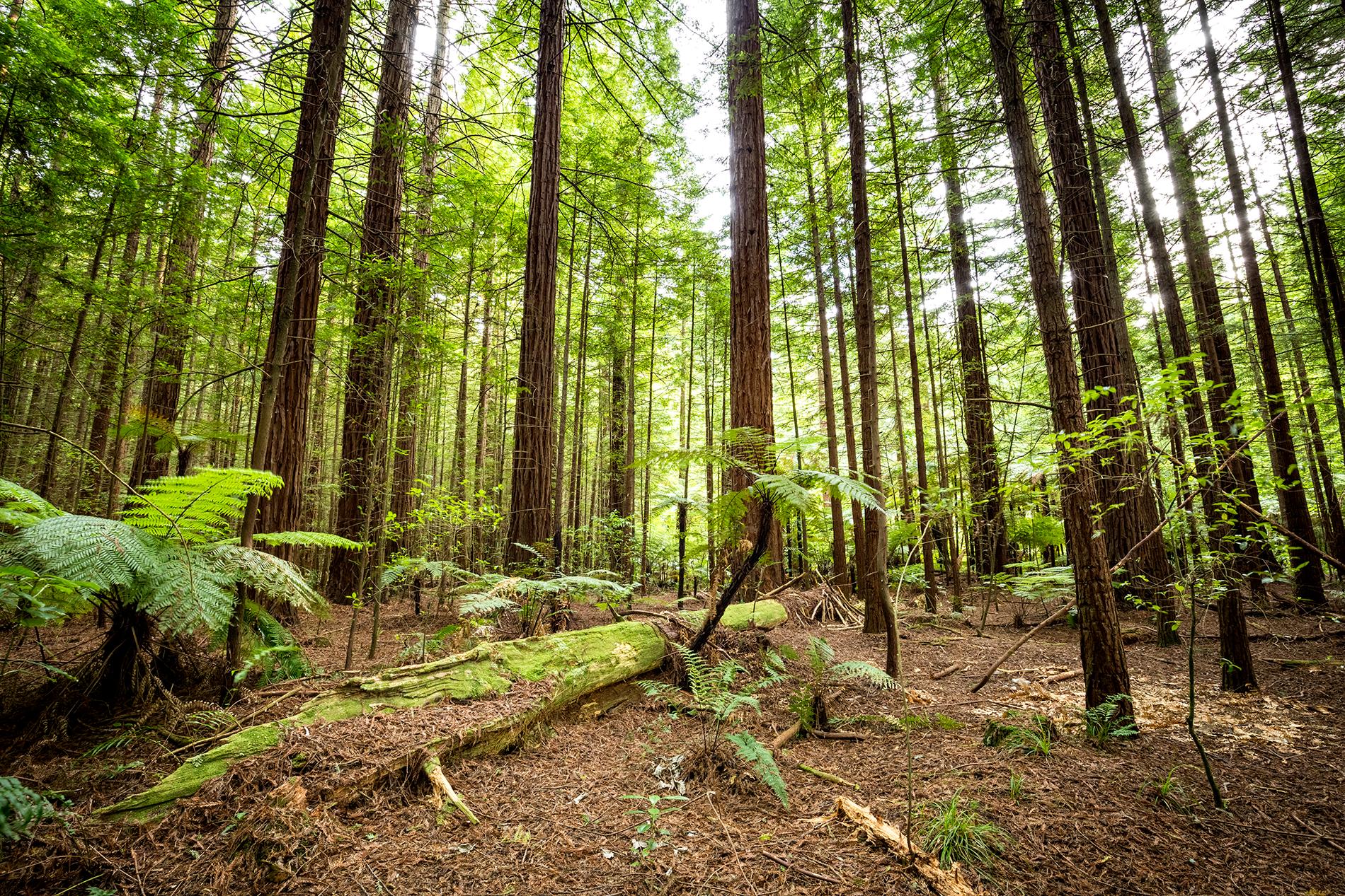 Rotorua_Redwoods_2.png
