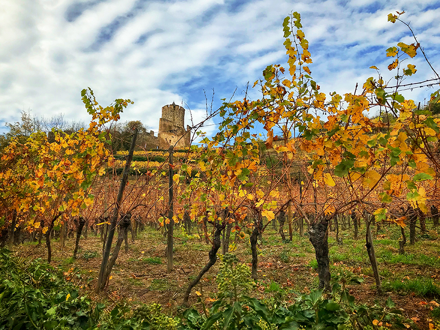 Château de Kaysersberg sits above golden coloured vineyards