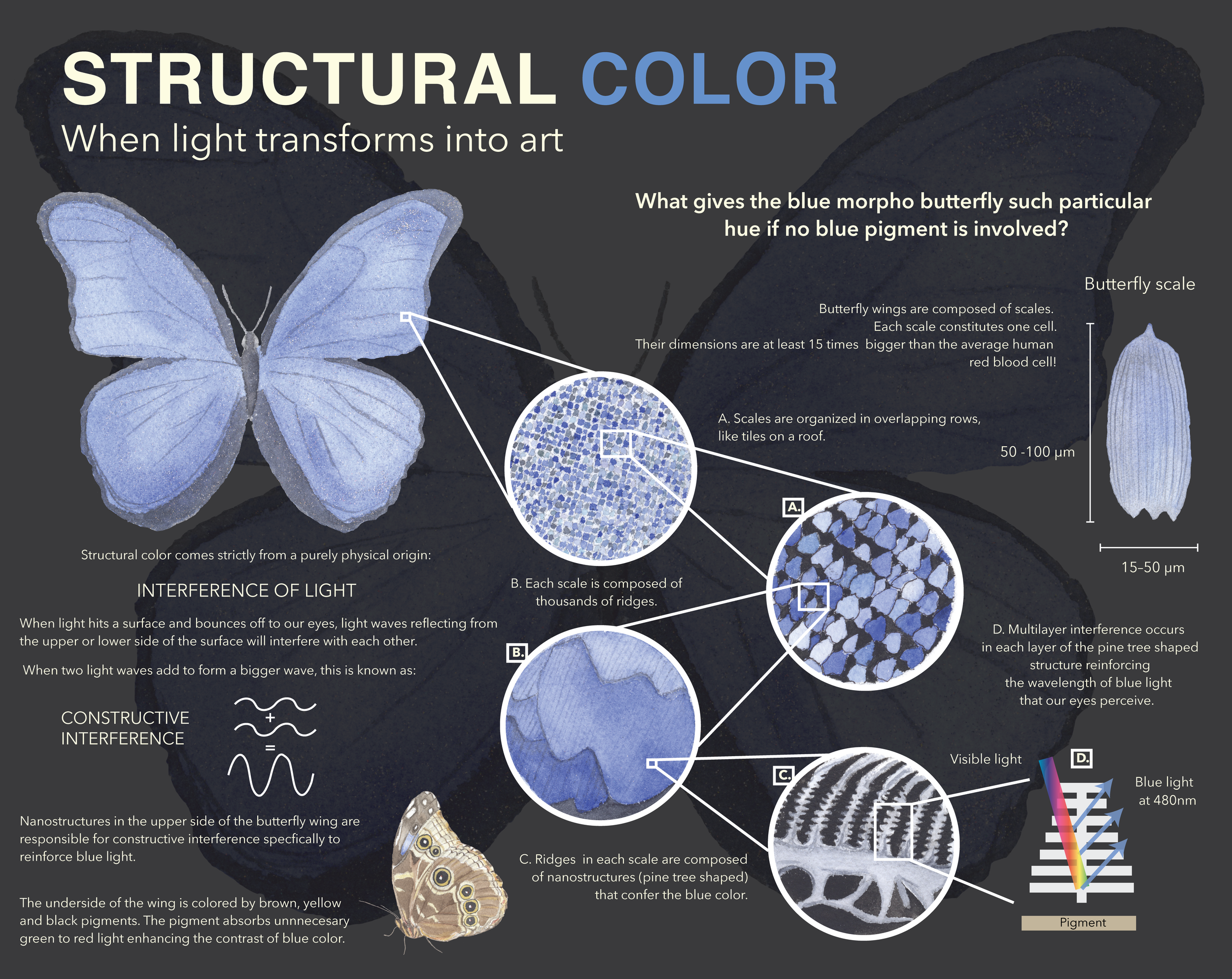 Sources:    Photophysics of Structural Color in the Morpho Butterflies      Mechanisms of structural colour in the Morpho butterfly: cooperation of regularity and irregularity in an iridescent scale      What gives the Morpho Butterfly its magnificent blue?    Further readings:    Wavelength-selective and anisotropic light-diffusing scale on the wing of the Morpho butterfly      Photonic structures in biology