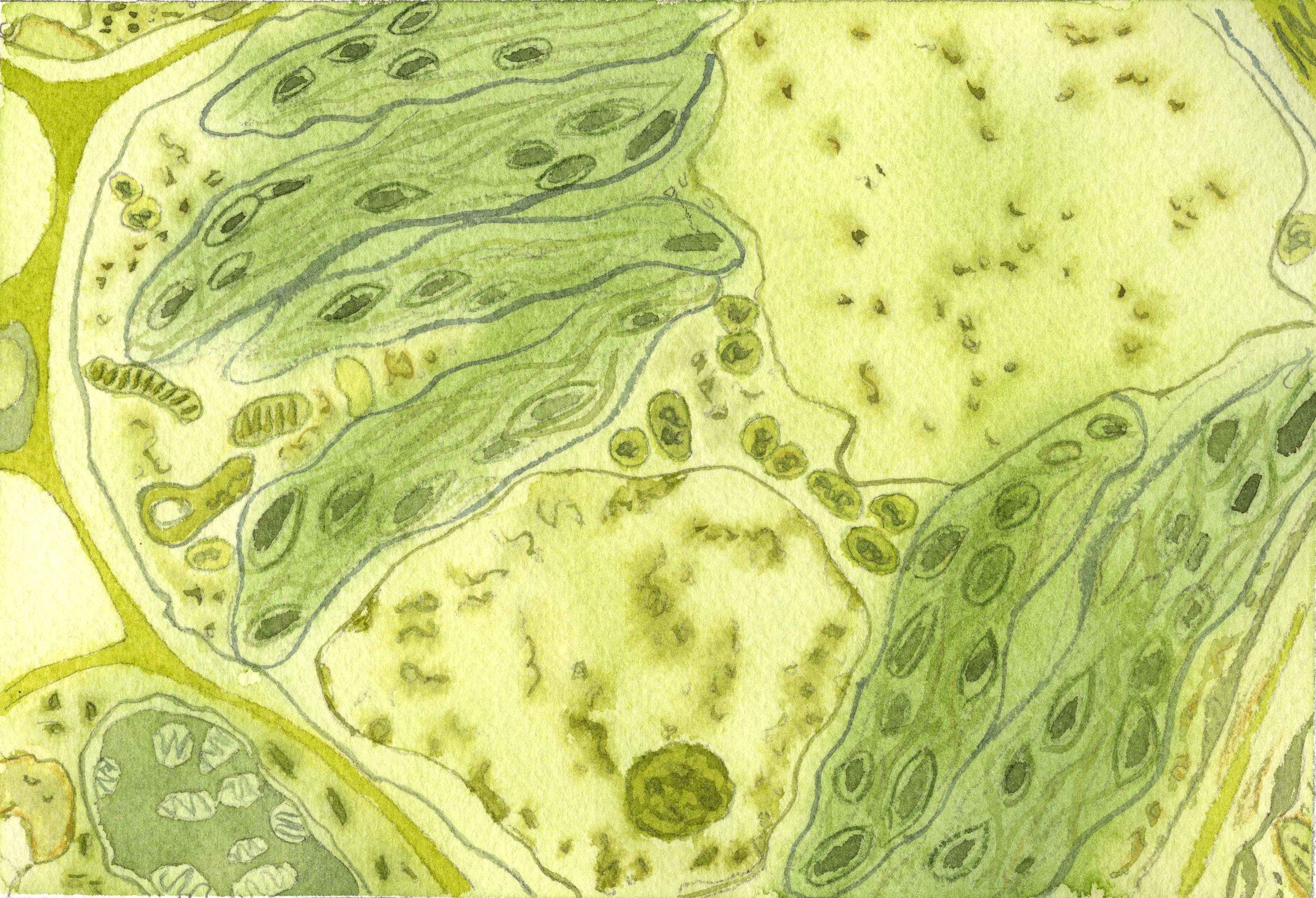 Célula vegetal.