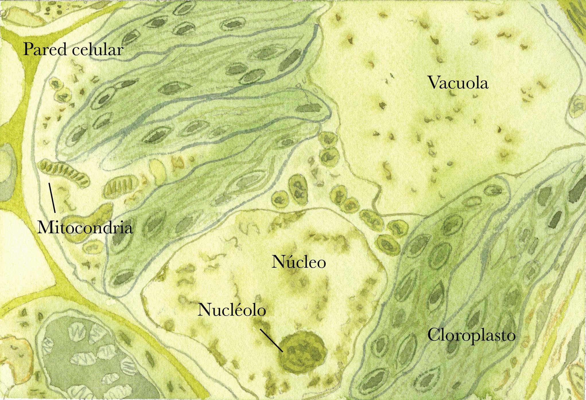 Célula vegetal con nombres.