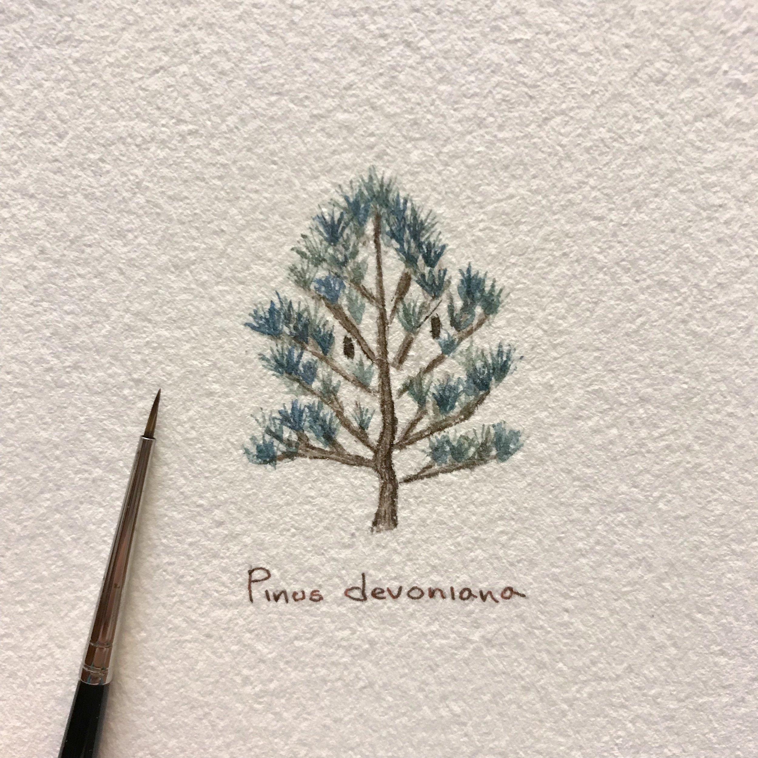 #PlantSaturday: Pinus devoniana - Pino Michoacano