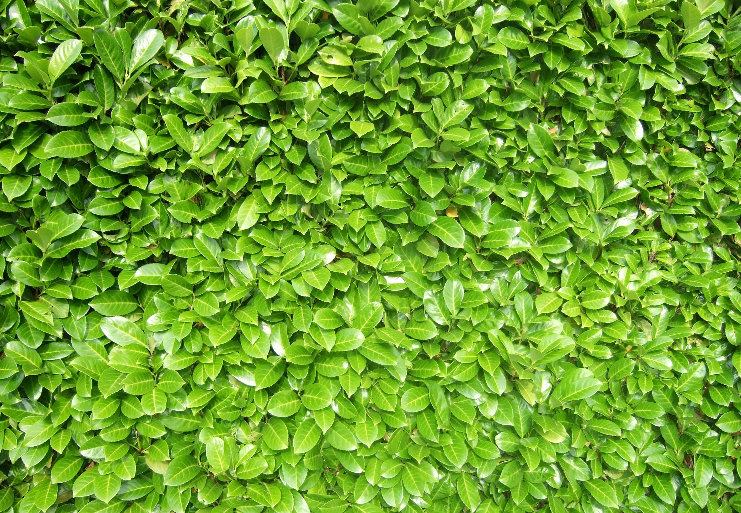 Green Hedge Image