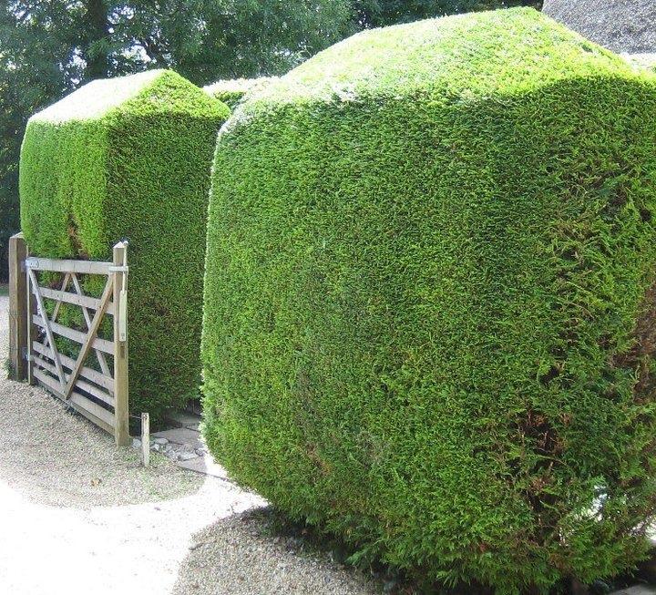 Manicured Hedge Image