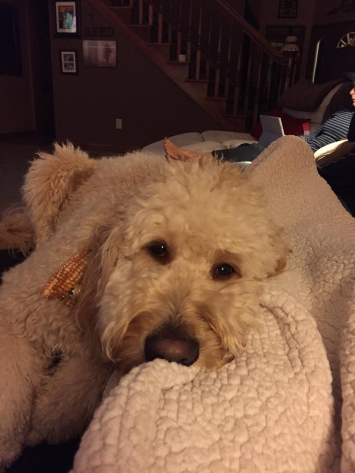 """I got a goldendoodle from you two years ago- he is perfect!""-Jordan- Indianapolis, IN"