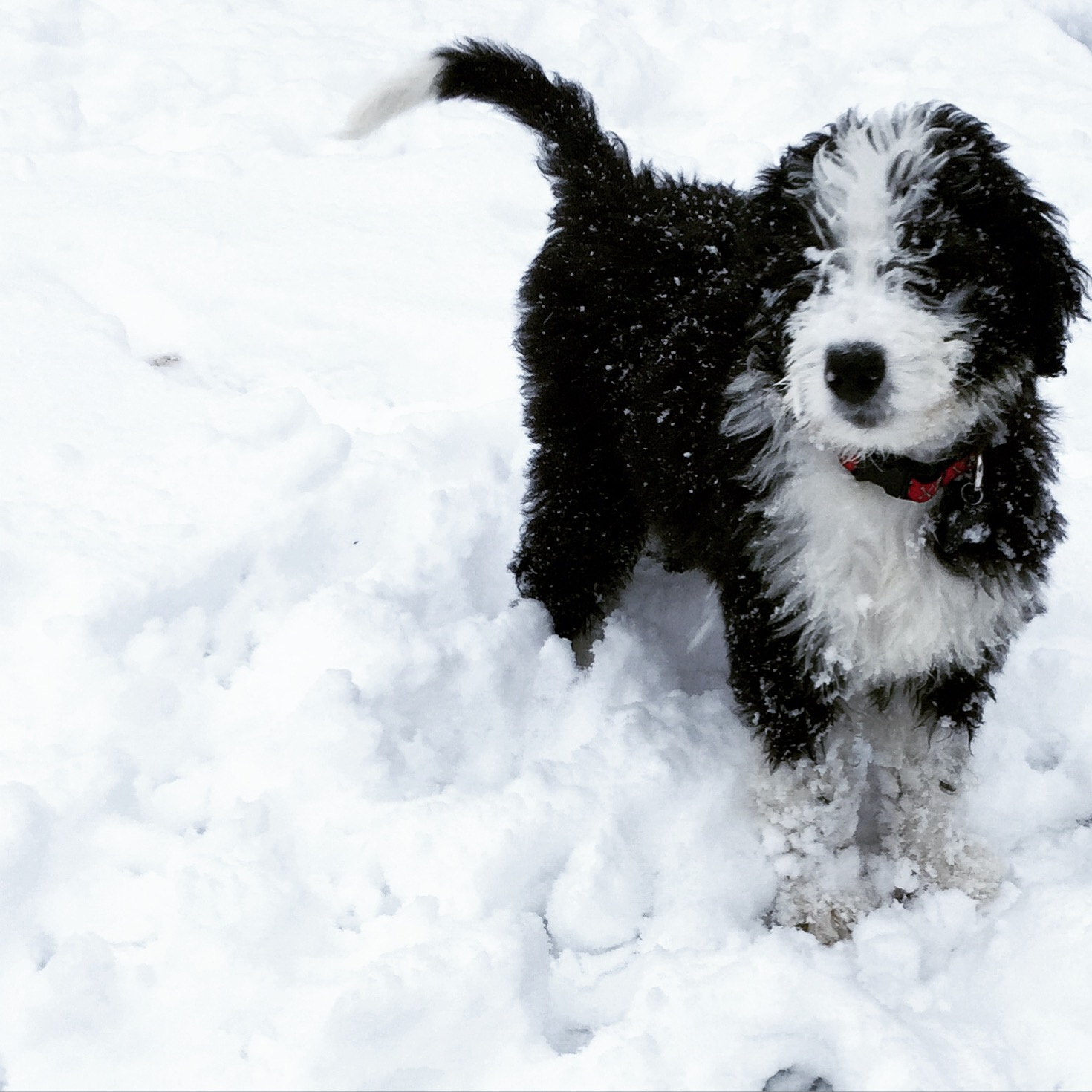 snowy bernedoodle
