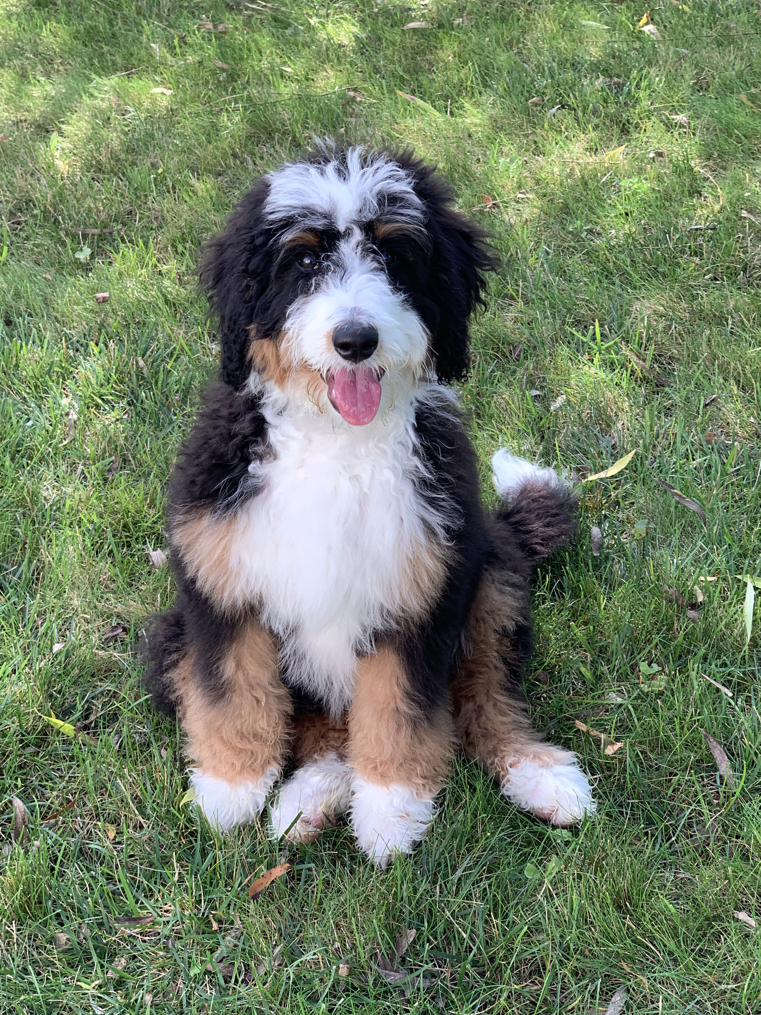 Indianas Premier Doodle Breeder For The Past 15 Years