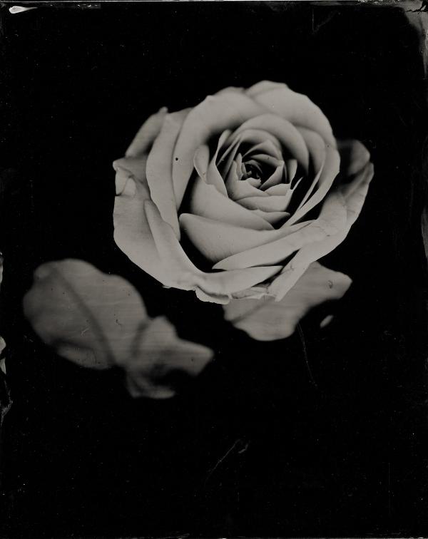 rose300.jpg