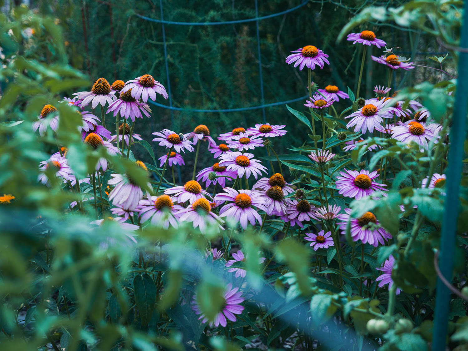 A wider view of the purple coneflowers placed within several tomato plants.