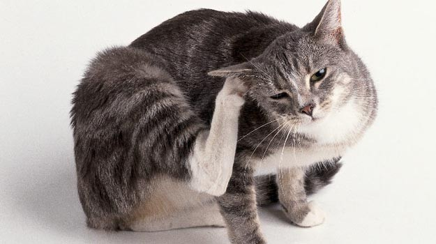 Fleas in Cat