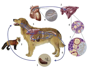 LUNGWORM IN ONTARIO DOGS