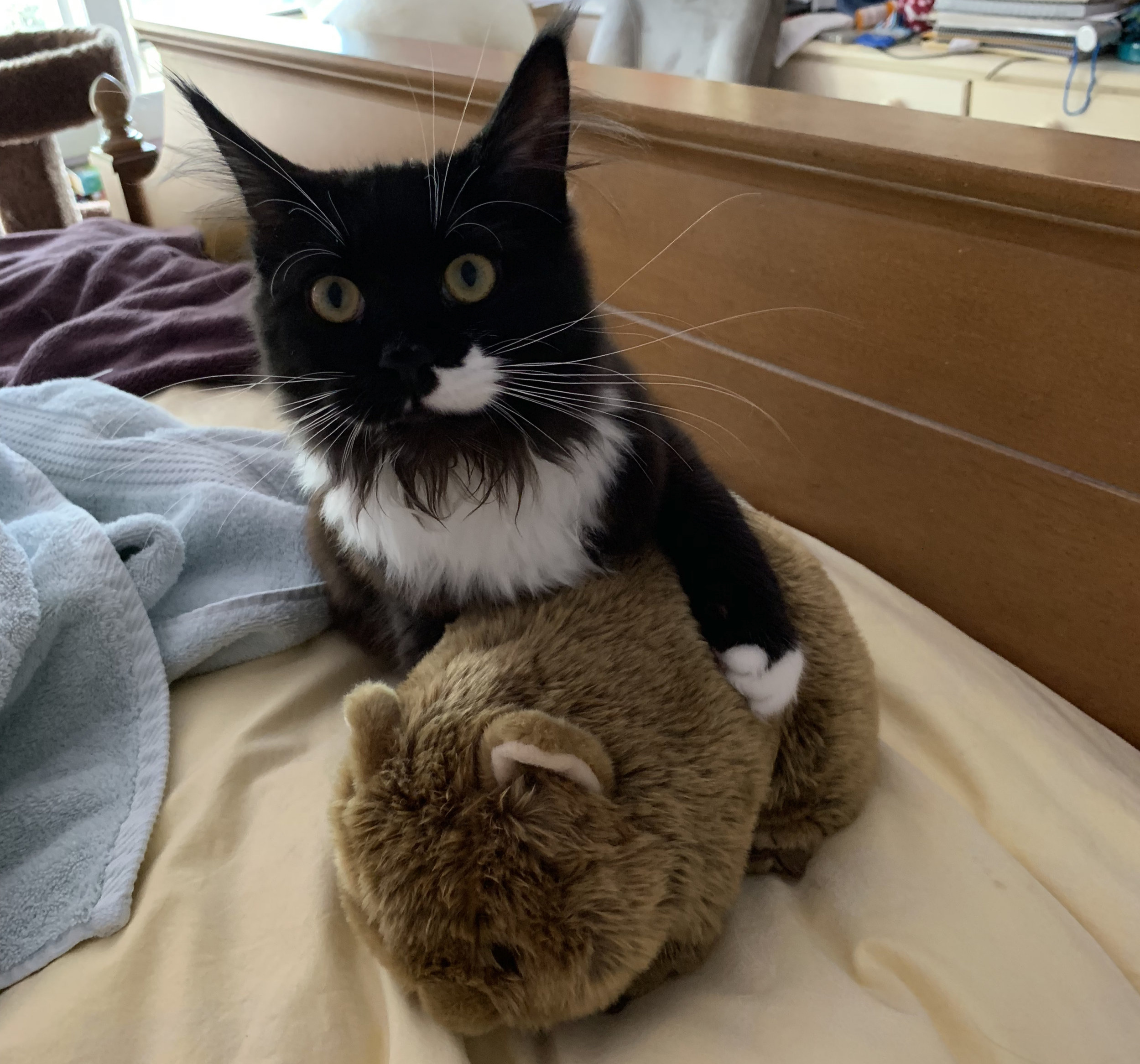 My cat, Zyva, deciding the wombat stuffed animal my friend Caitlin bought for me is now hers