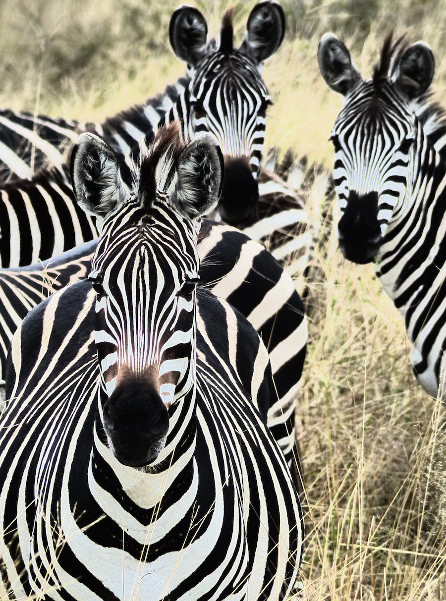 zebra faces.jpg