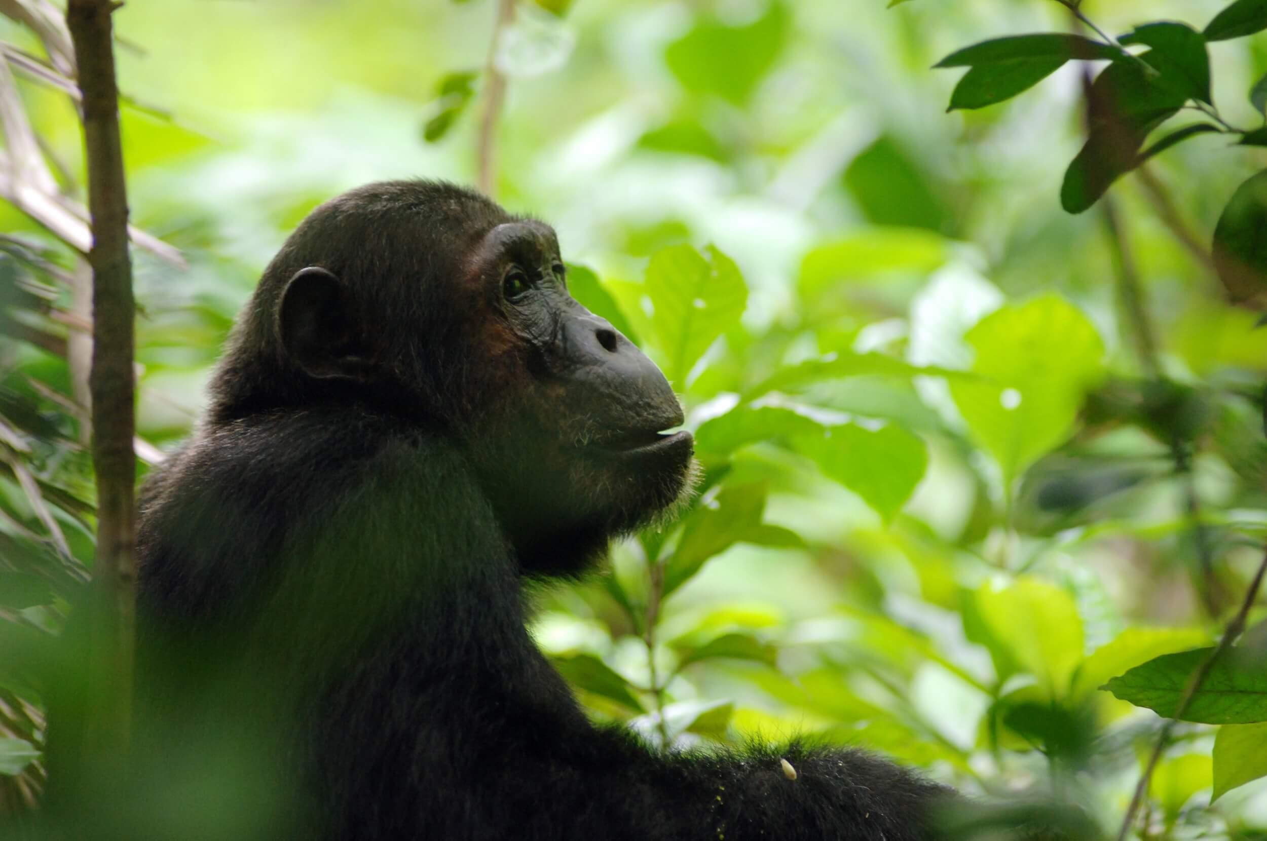 Greystoke Mahale chimp - Nomad Tanzania.jpg