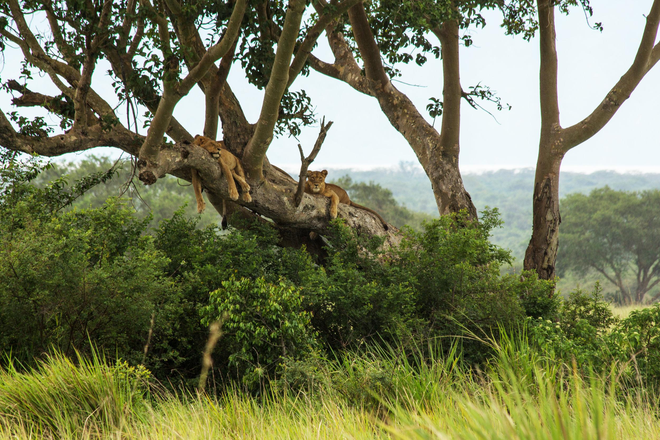 Tree Climbing Lions.jpg