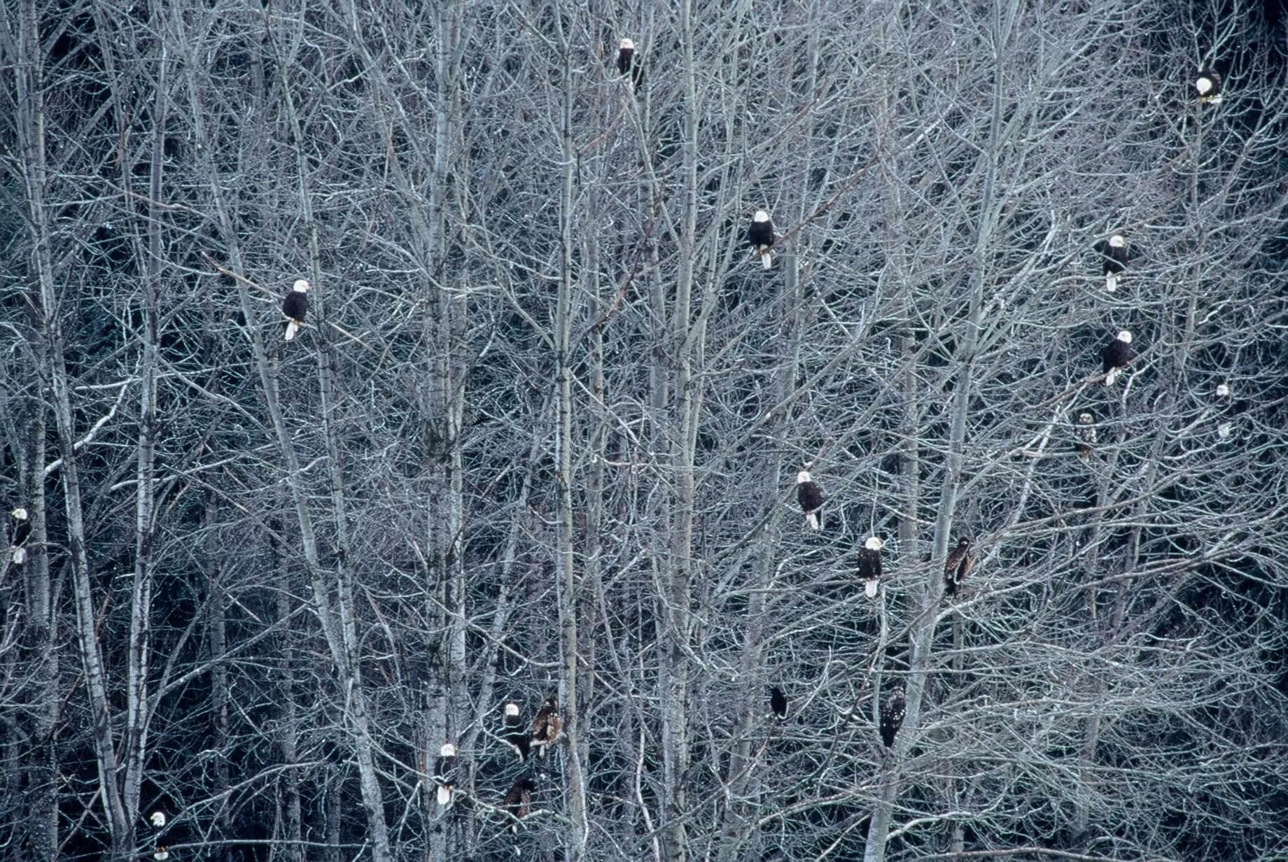 Winter Eagles.jpg