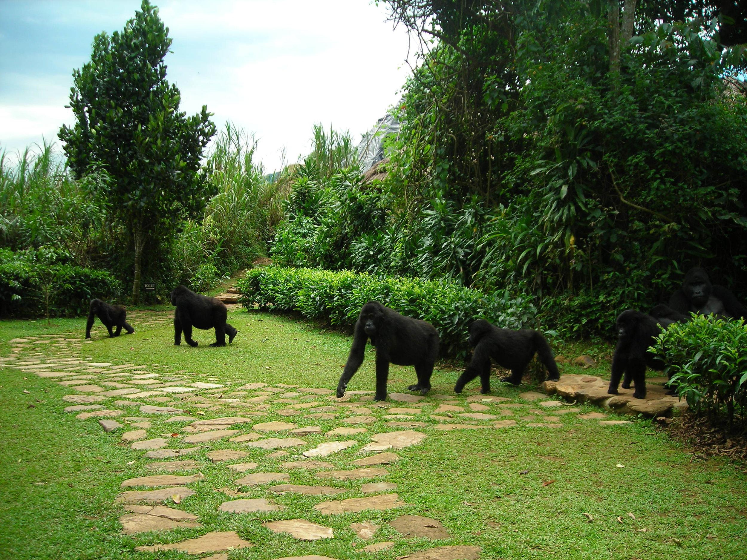 Bwindi_gorilla family at lodge.JPG