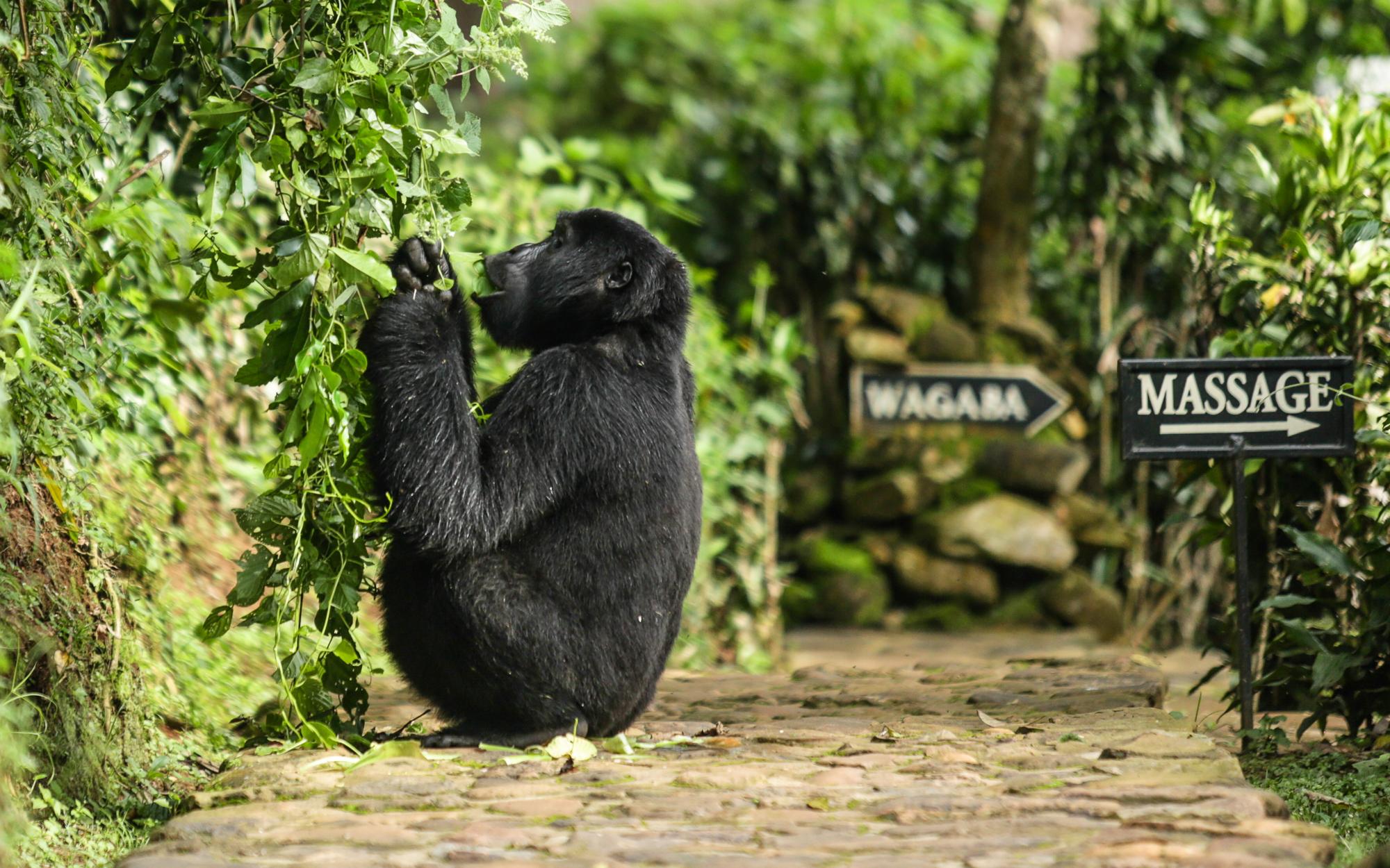 Bwindi_gorilla at lodge.jpg
