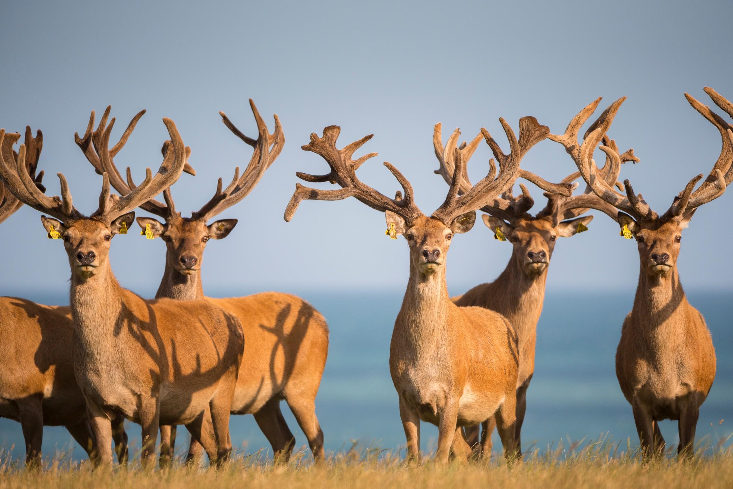 Deer - Hapuku Stags.jpg