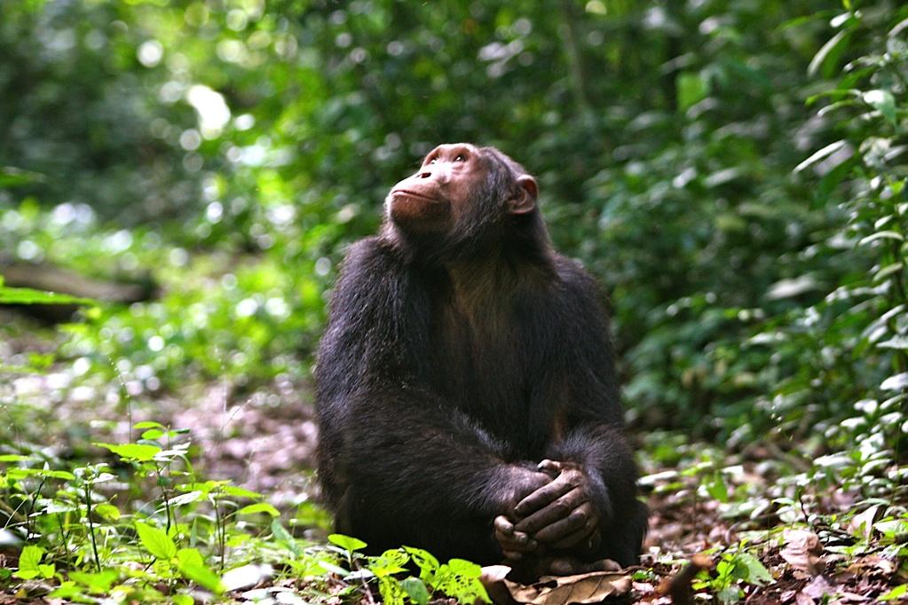 Kyambura_Chimp+(3).jpg