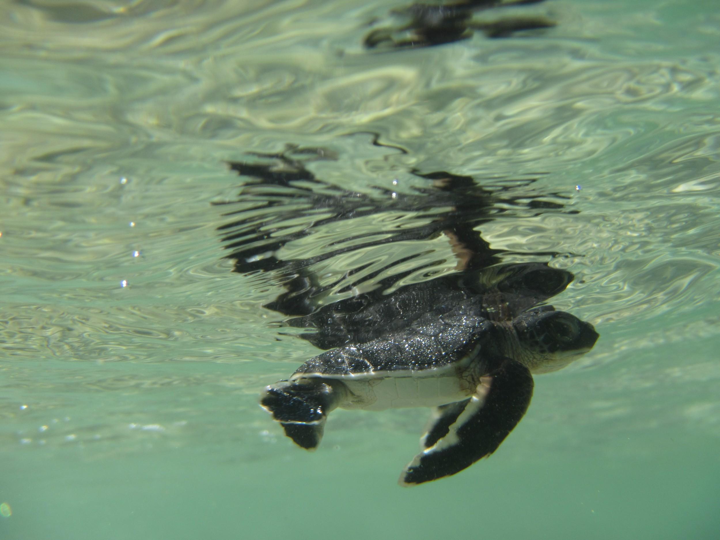 Miavana - Baby Turtle.jpg