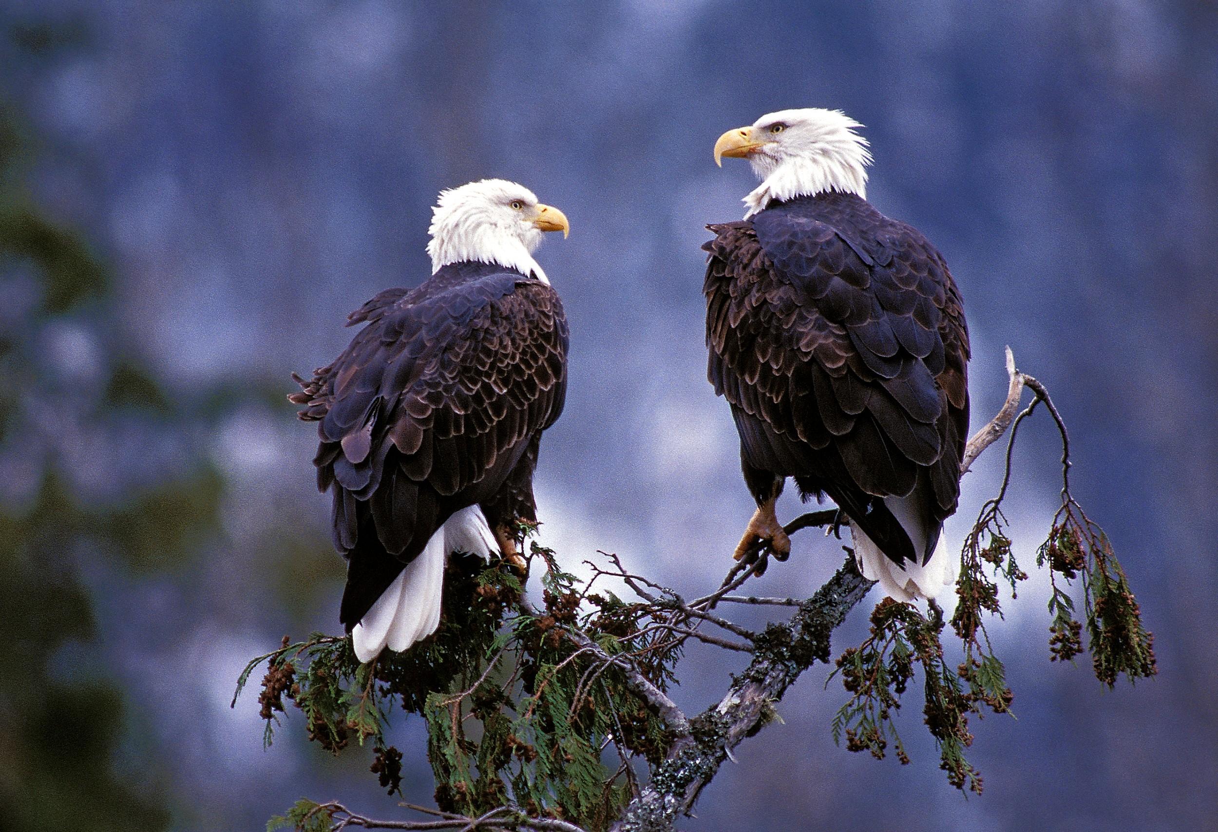Eagle Pair photo Mike Wigle and Tweedsmuir Park Lodge.jpg