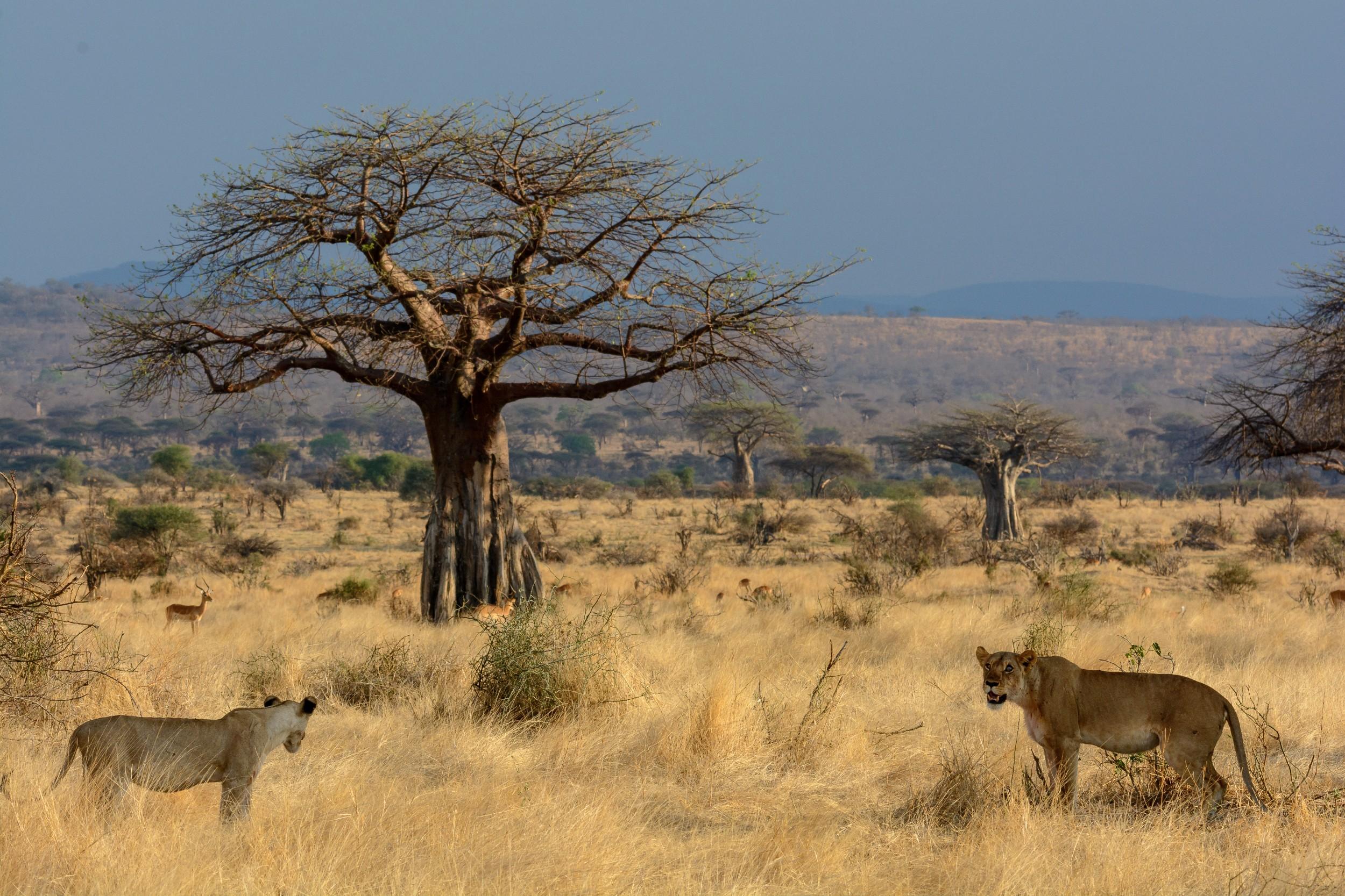 Jabali-Ridge-baobab-tree-and-lion.jpg
