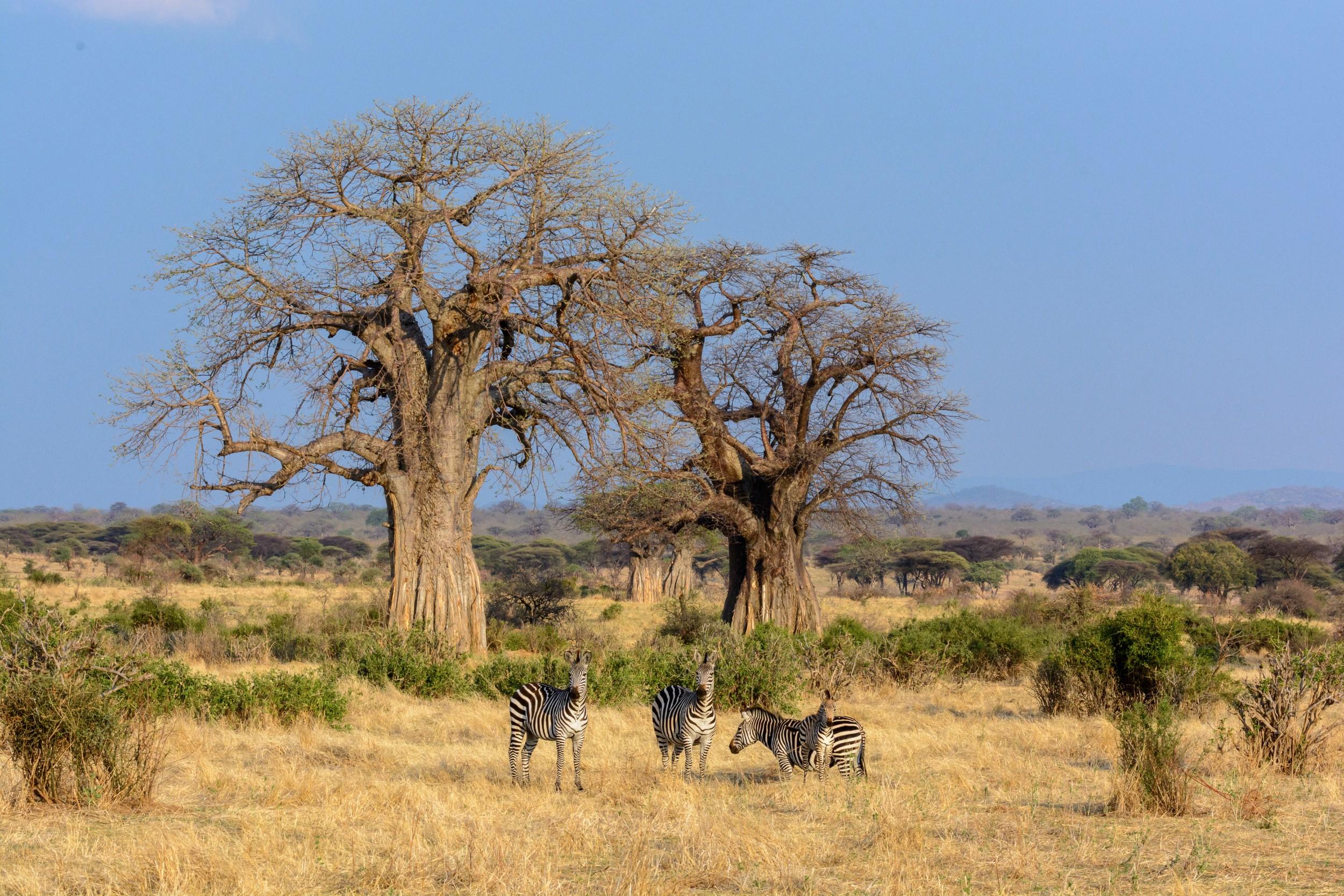 Jabali-Ridge-landscape-baobab-tree-zebra.jpg