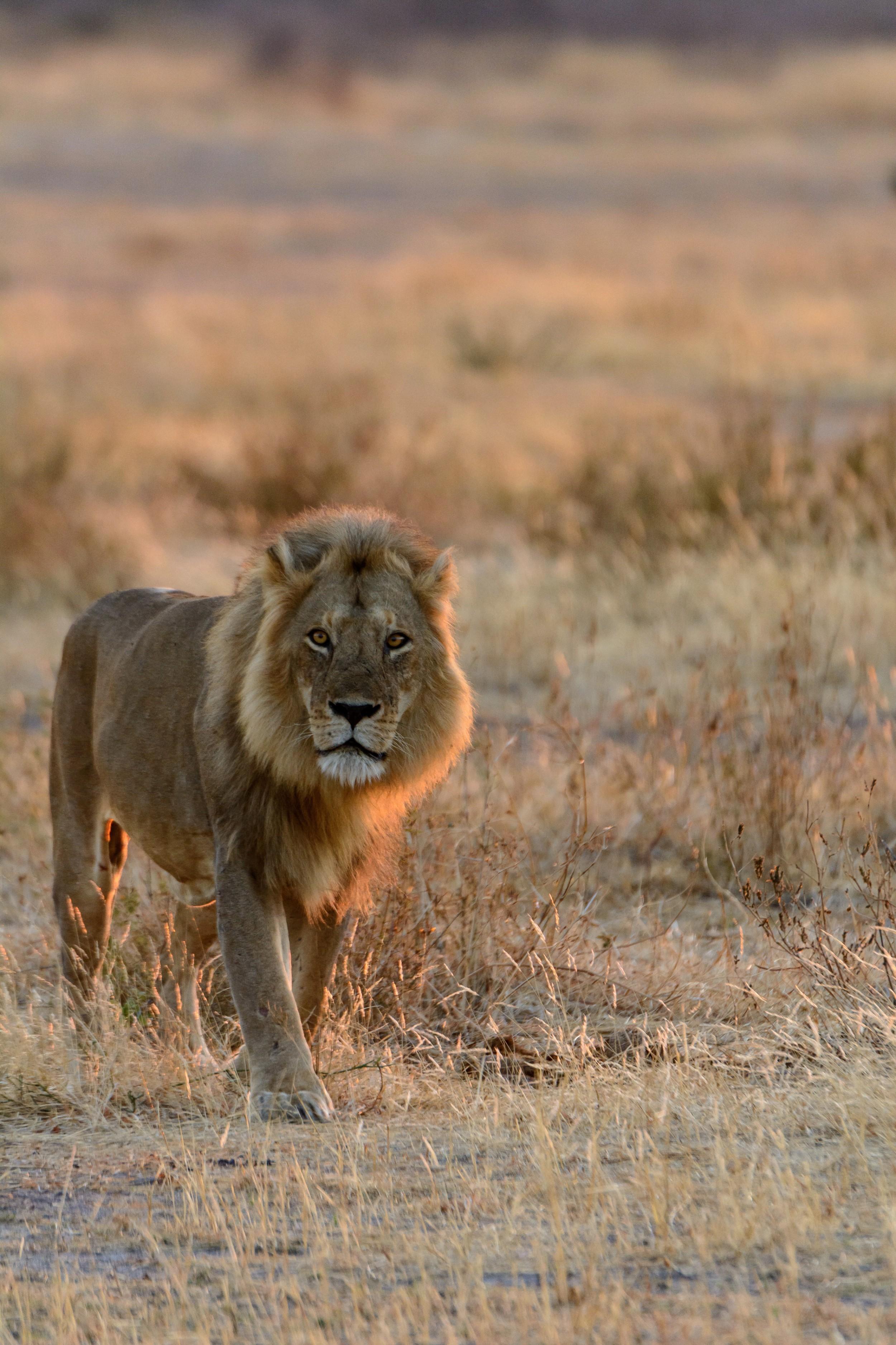 Jabali-Ridge-Lion-image.jpg