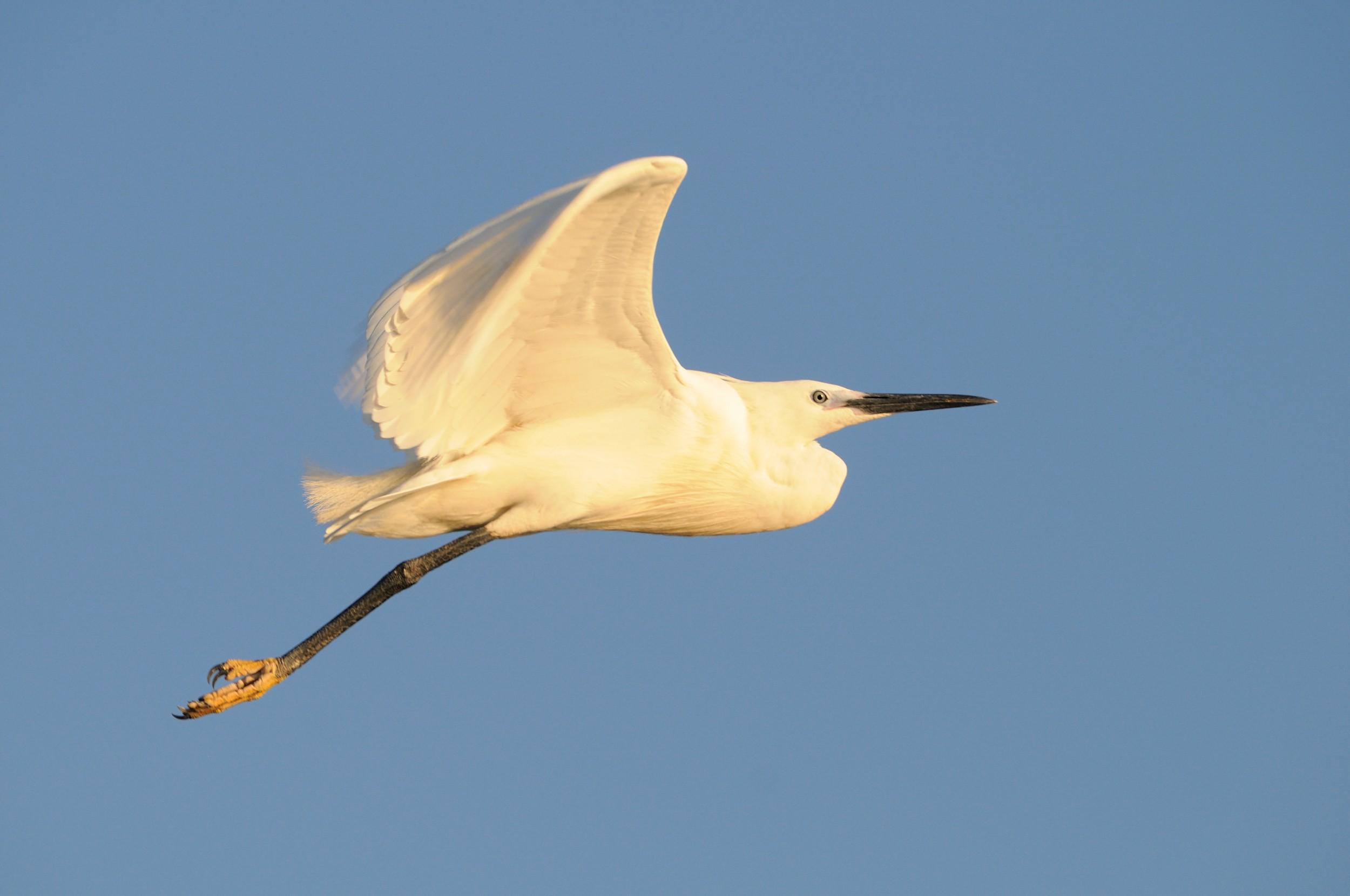 PL-Selous-bird-in-flight.jpg