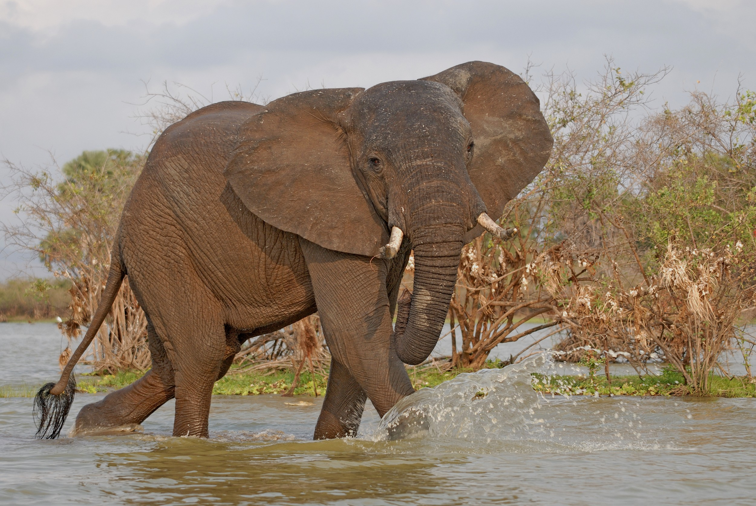 PL-Selous-elephant-splashing-river.jpg
