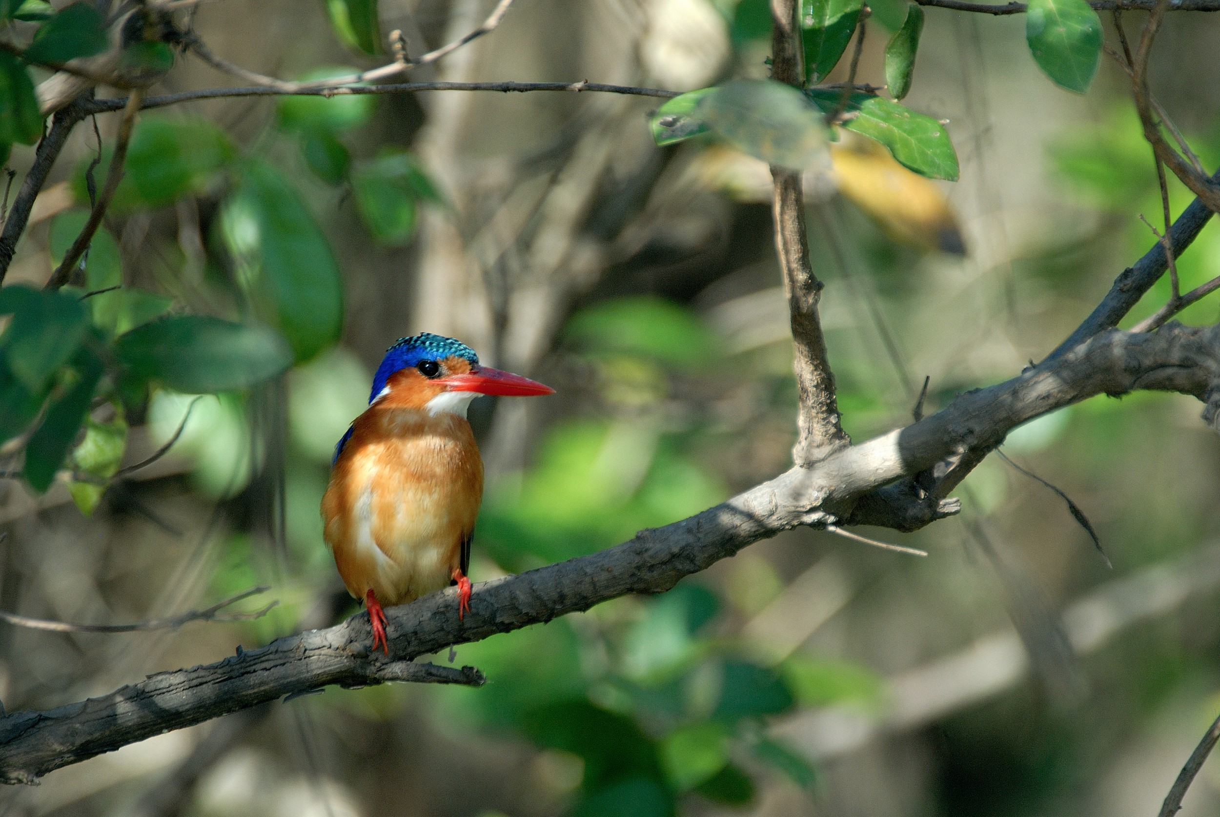 PL-Selous-kingfisher-branch.jpg