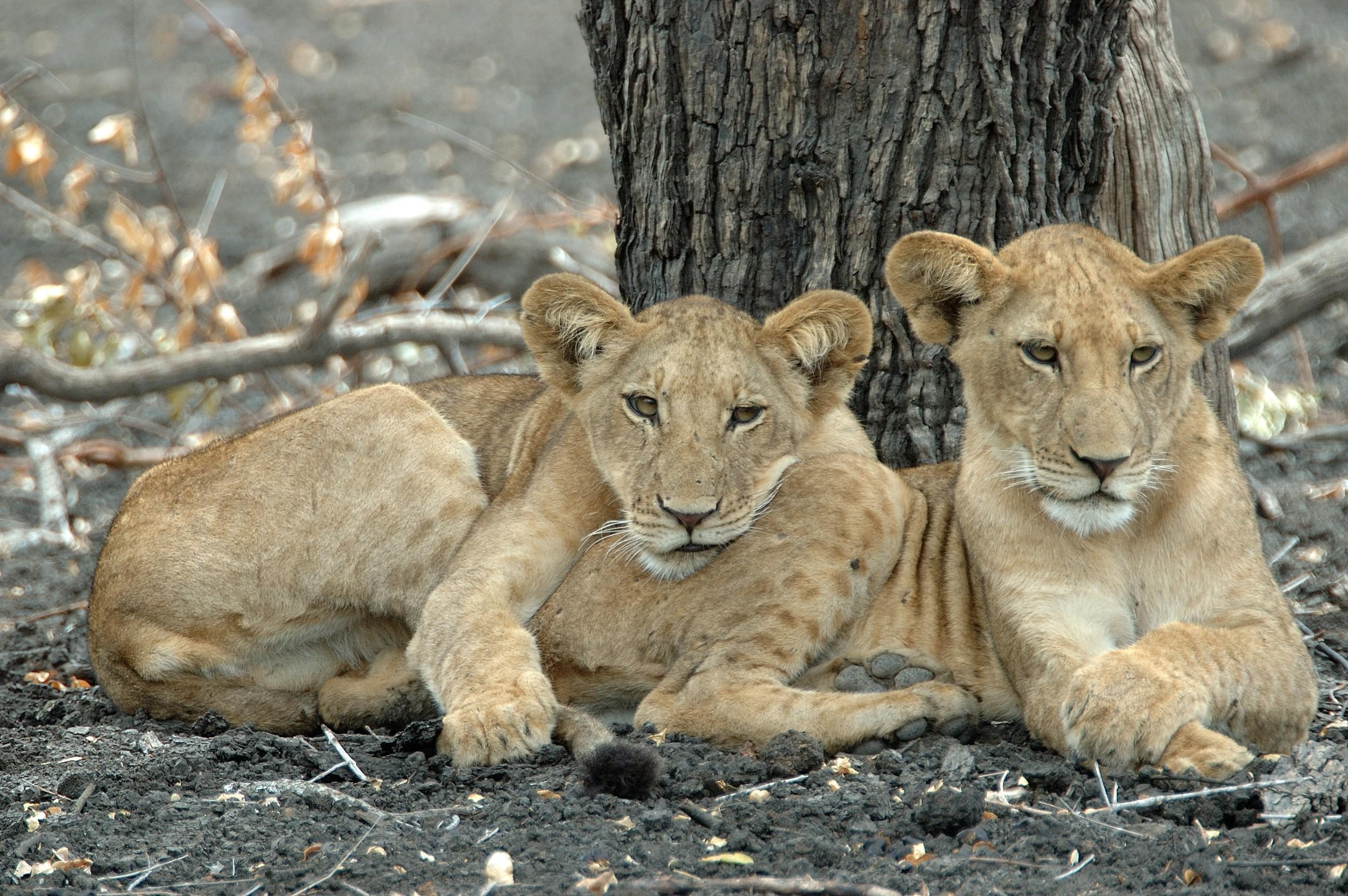 PL-Selous-lion-relaxing-by-tree.jpg