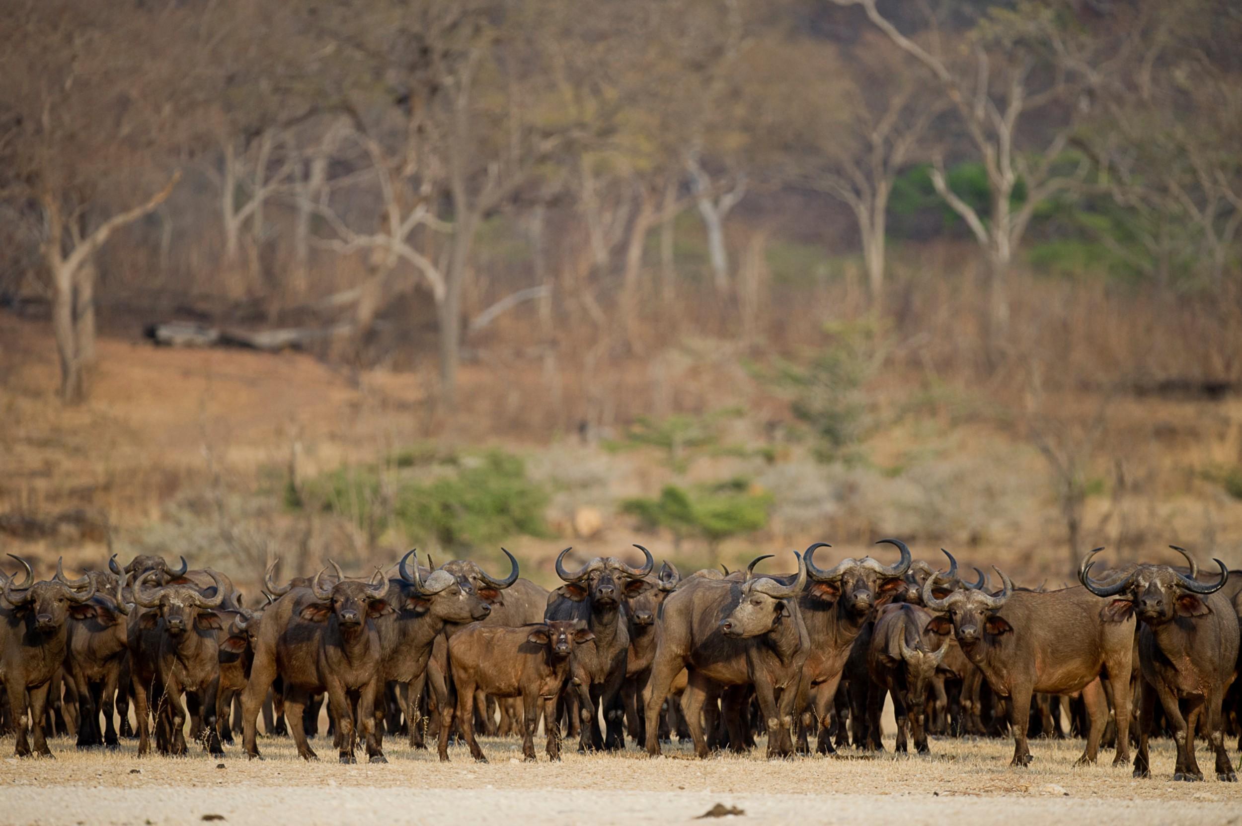 Selous-herd-of-buffalo-RR.jpg