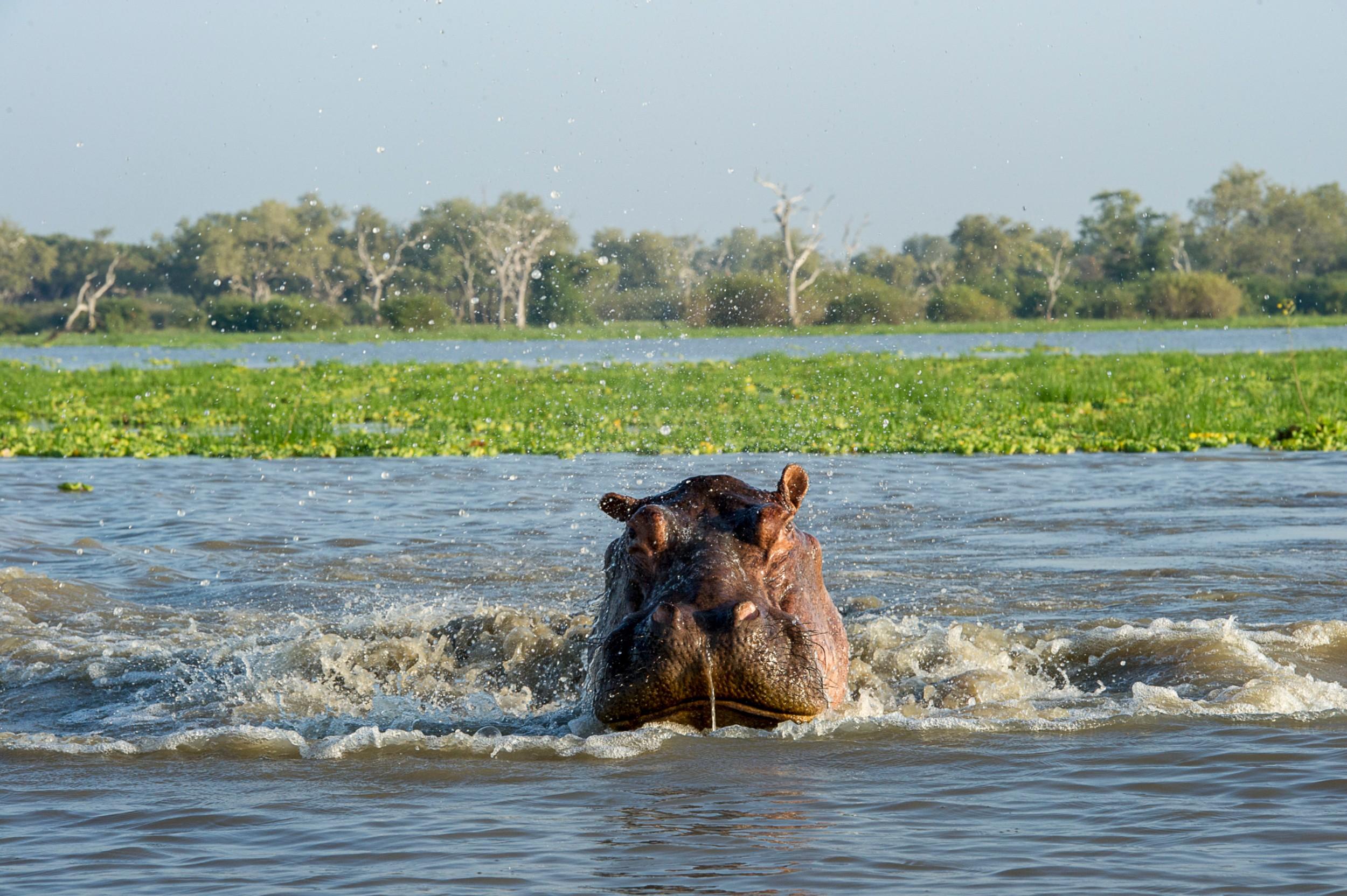 Selous-hippo-splashing-RR.jpg