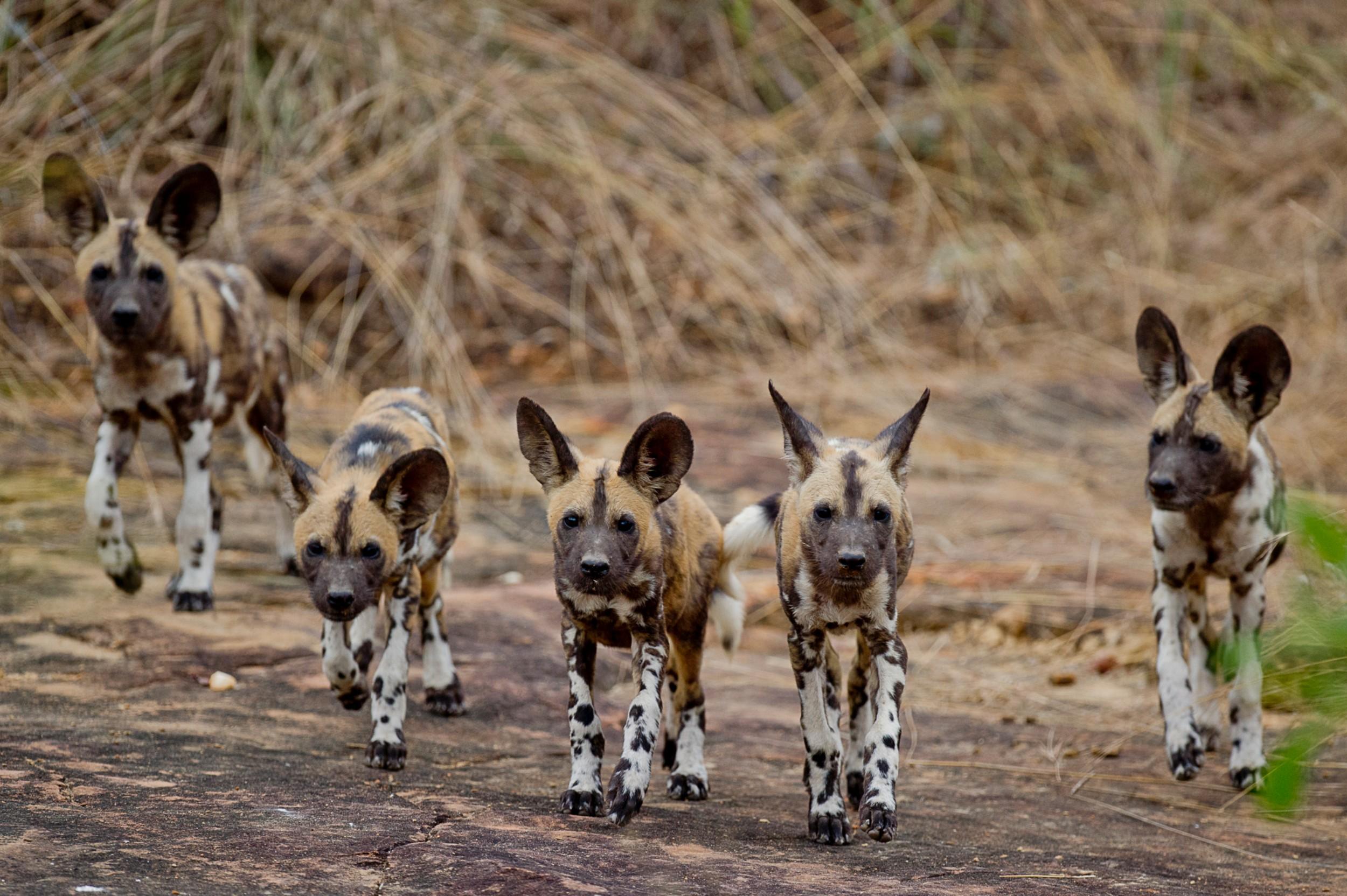 Selous-wild-dog-RR.jpg