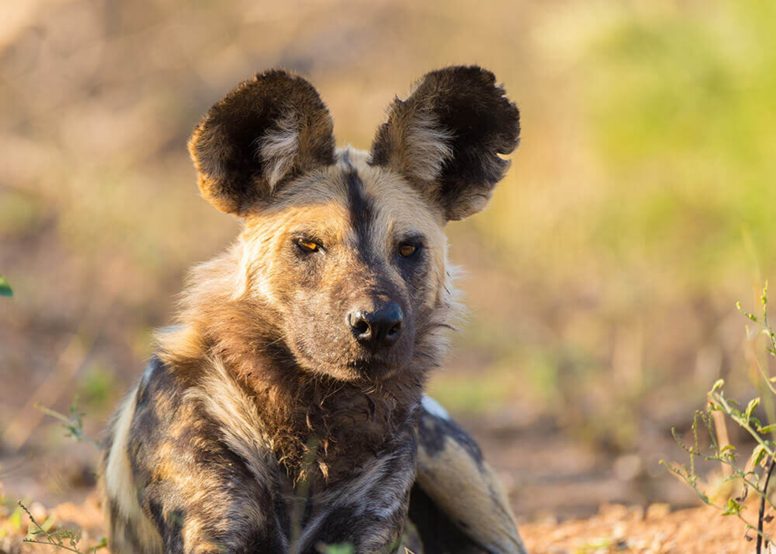 32Mapula Lodge - Wild dog.jpg