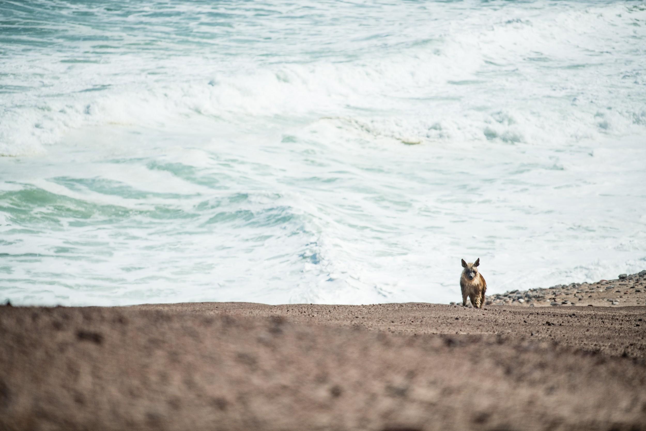 37Shipwreck Lodge - Brown hyena.jpg