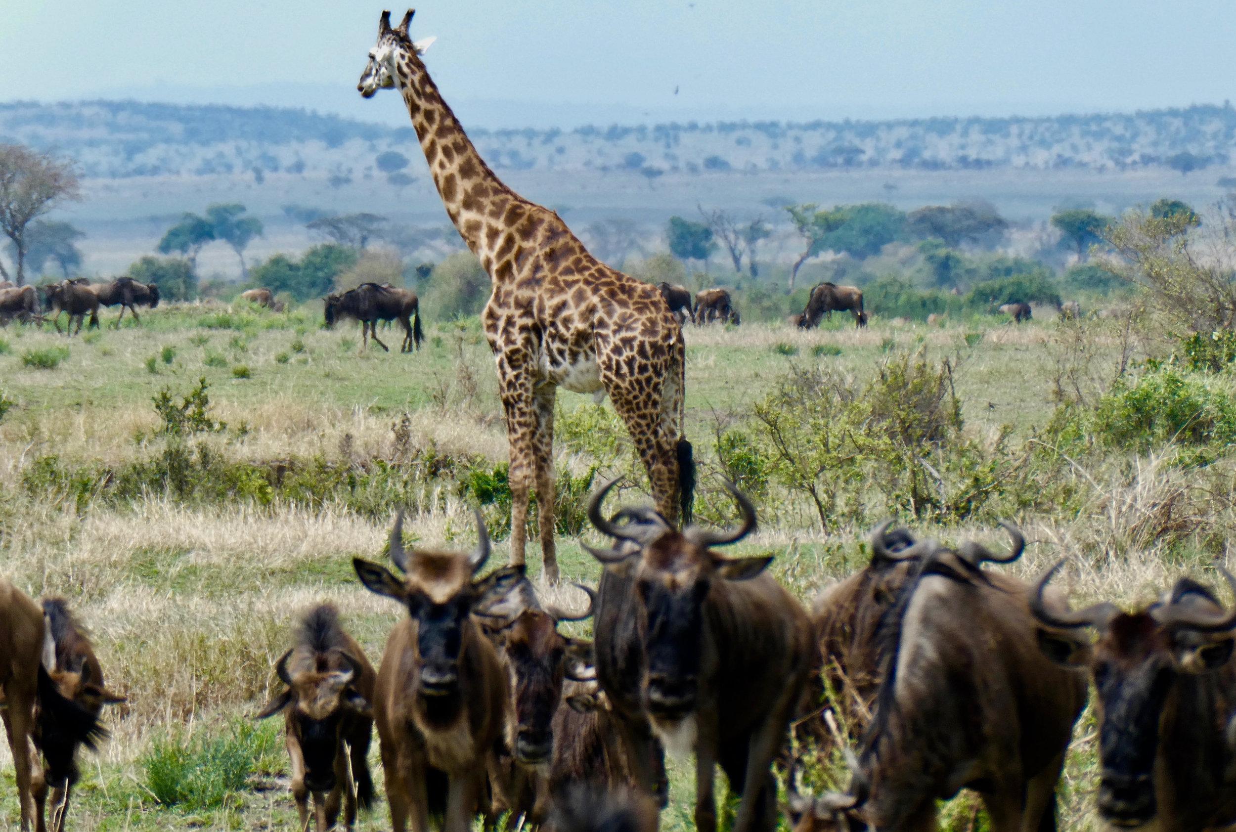 giraffe_jill.jpg