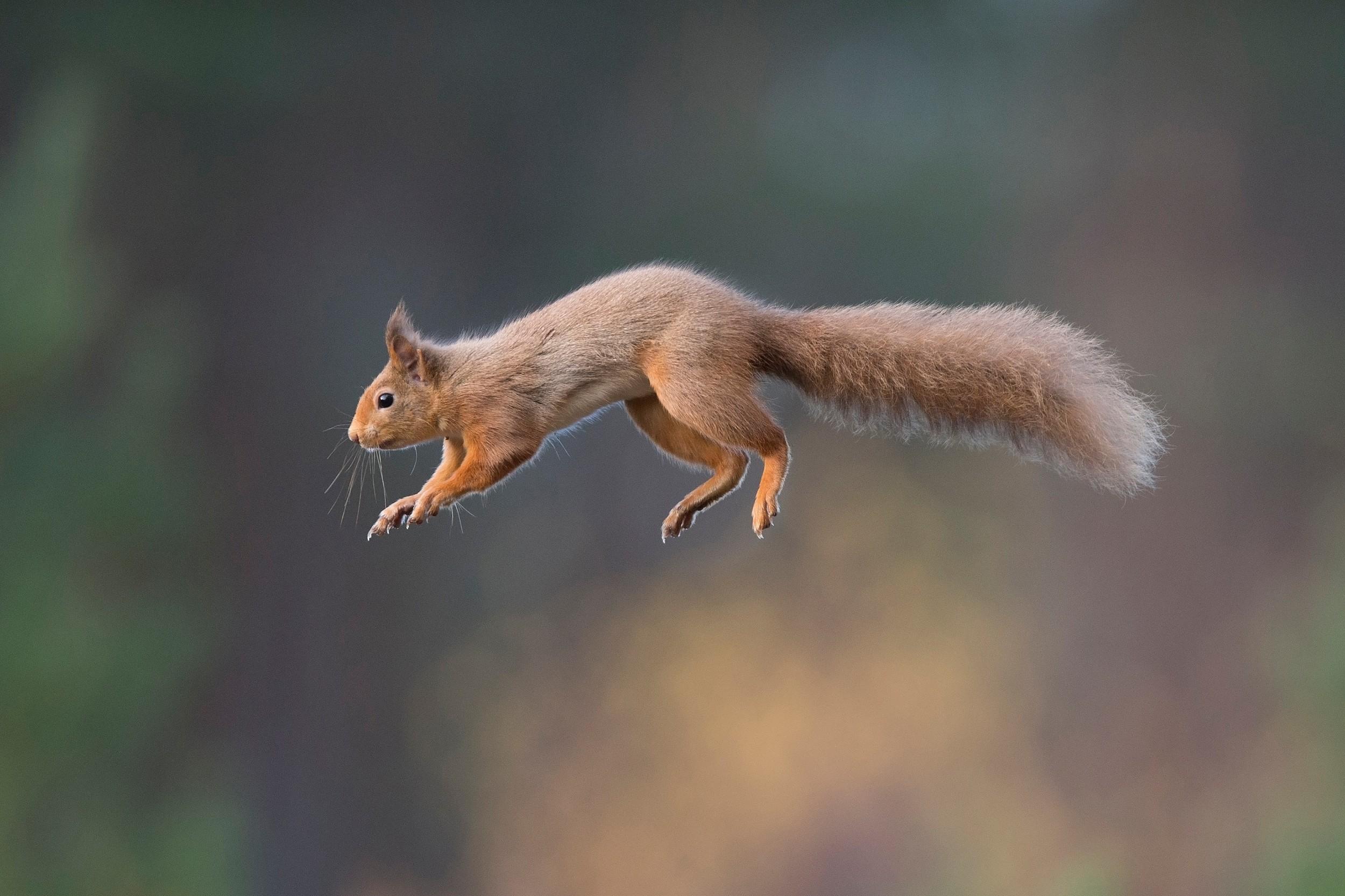 Wildlife_Alladale Wilderness Reserve_Red Squirrel_NS-PC-1224222.jpg